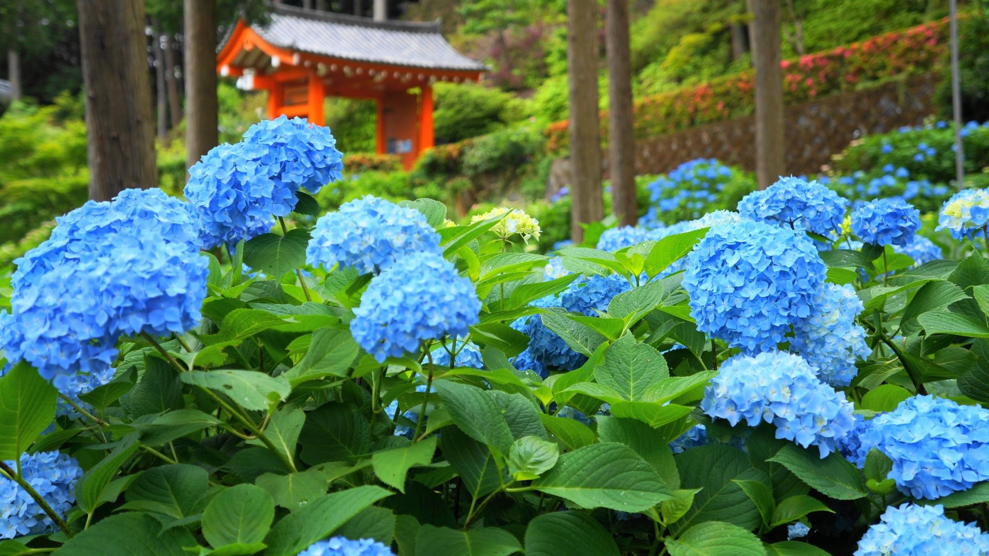 三室戸寺の山門と初夏のあじさい園を彩る青い紫陽花