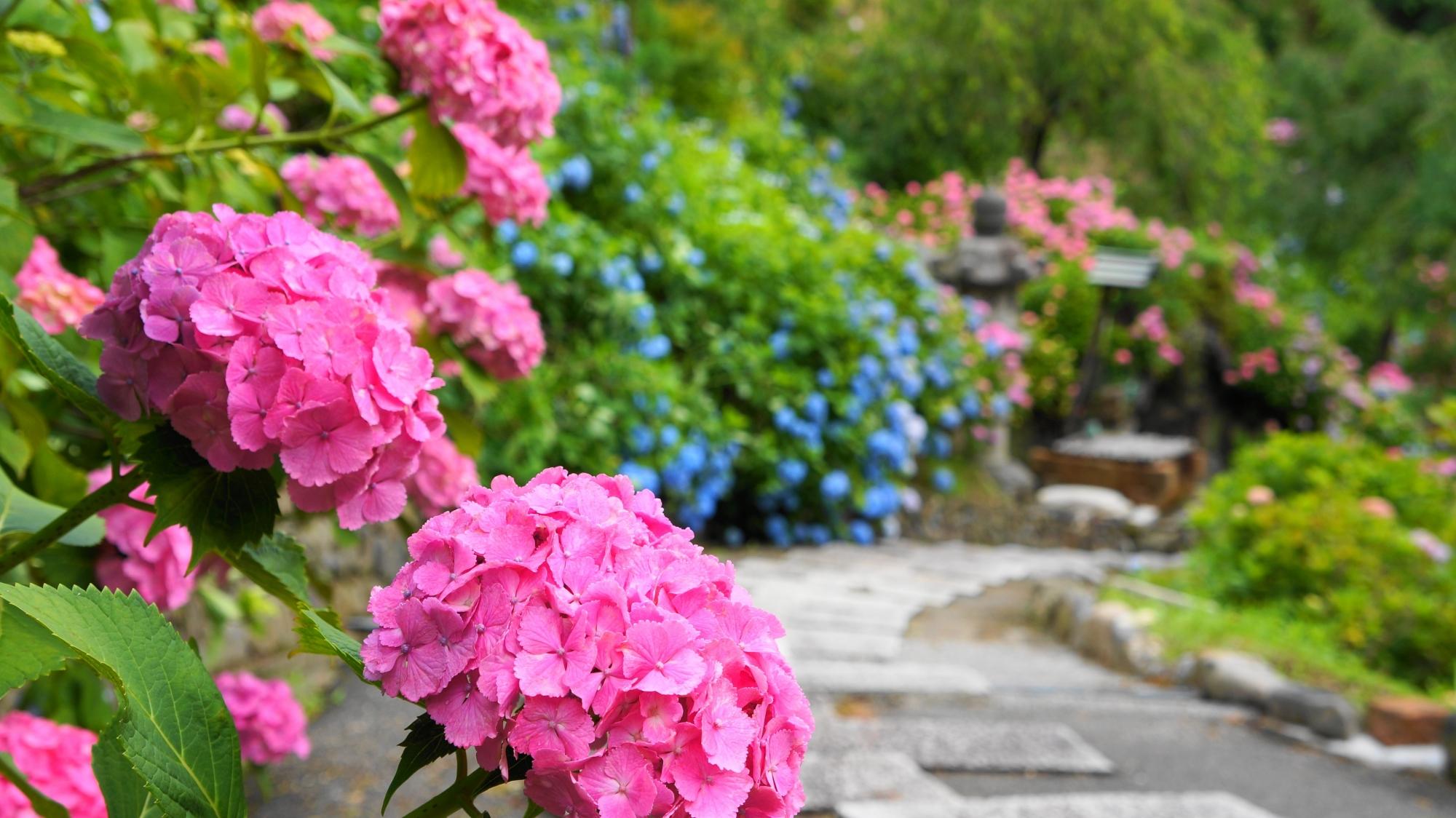溢れ出す山寺の多彩な紫陽花