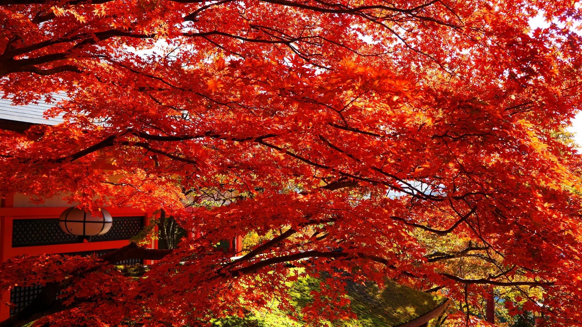 鞍馬寺 紅葉 大自然の真っ赤な紅葉