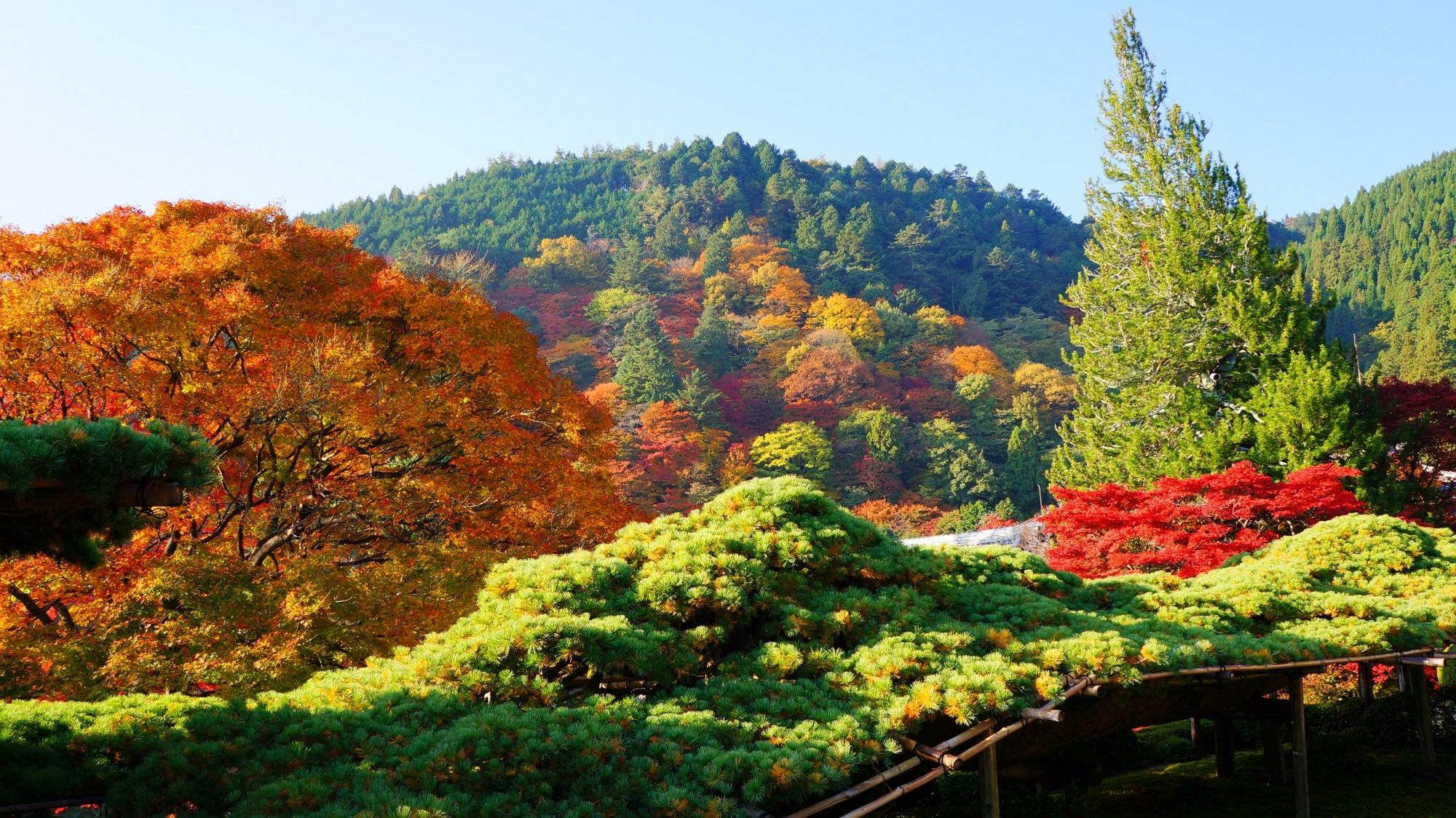 善峯寺 紅葉 遊龍の松と鮮やかな彩り