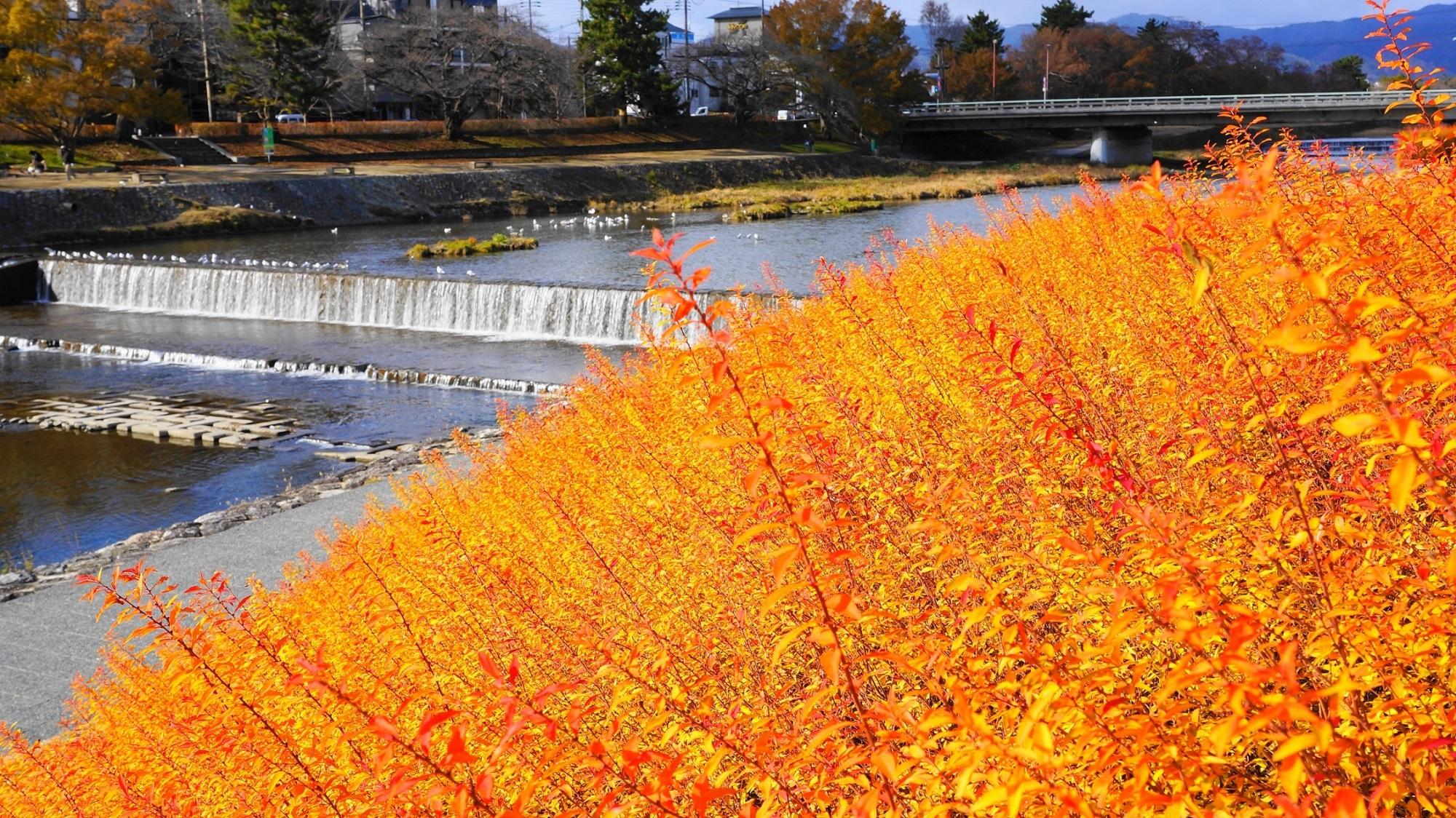 鴨川 雪柳 紅葉 オレンジ色につつまれる冬の水辺