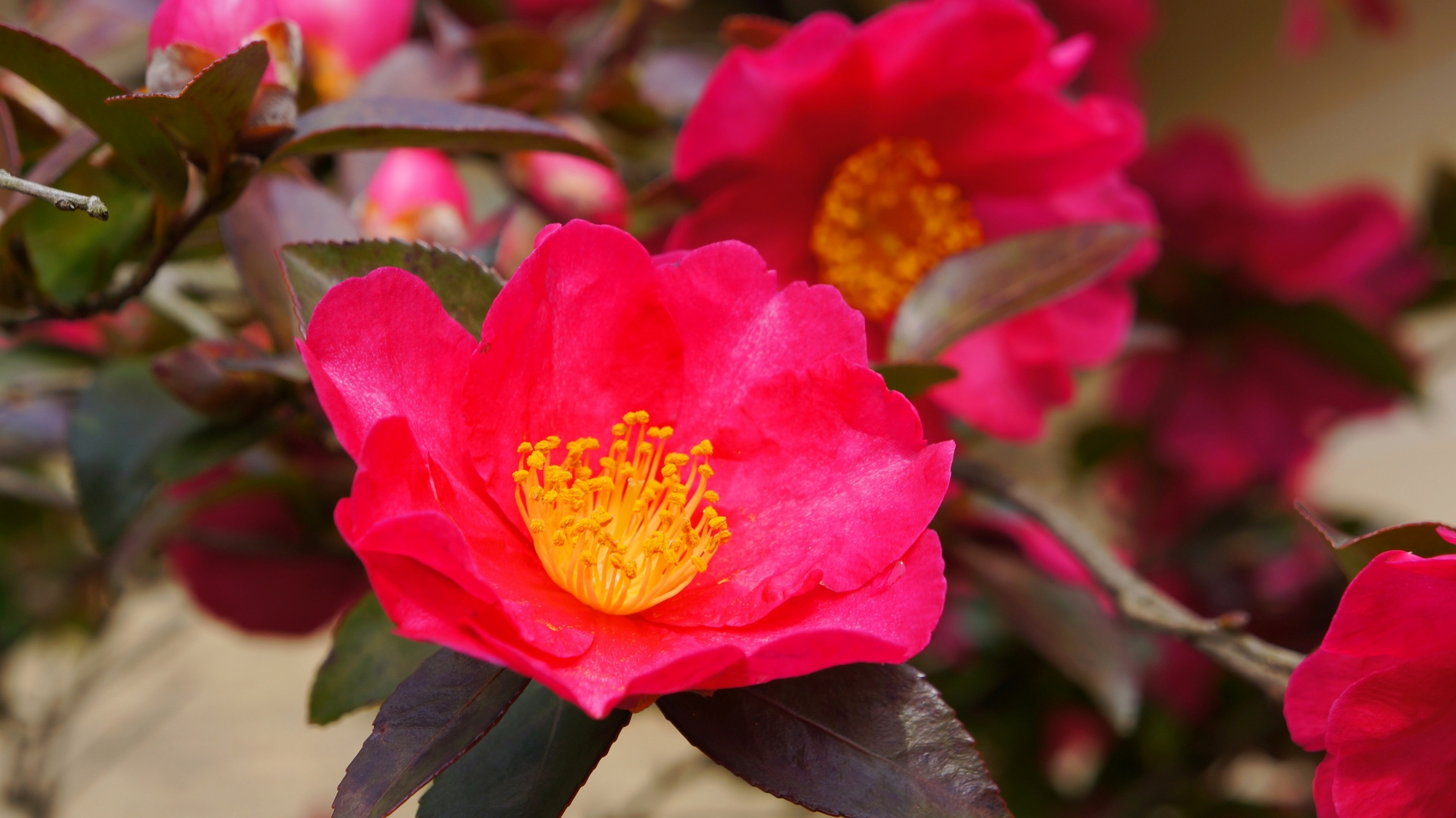 寒い冬を鮮やかに彩る天龍寺の見事な山茶花