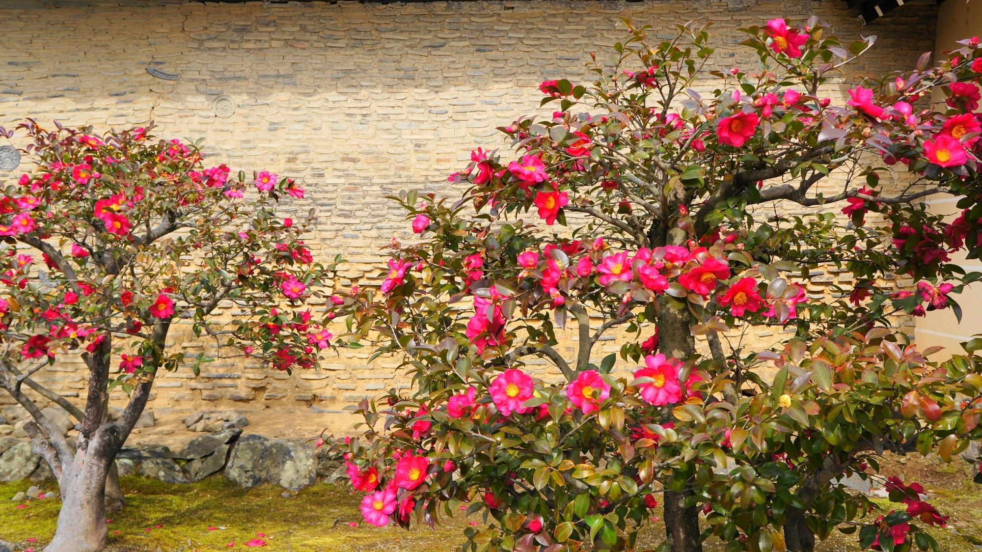 天龍寺の勅使門横の山茶花(サザンカ)