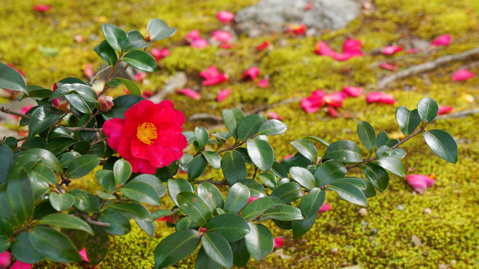 葉と苔の緑を華やぐ赤い山茶花と散った花びら