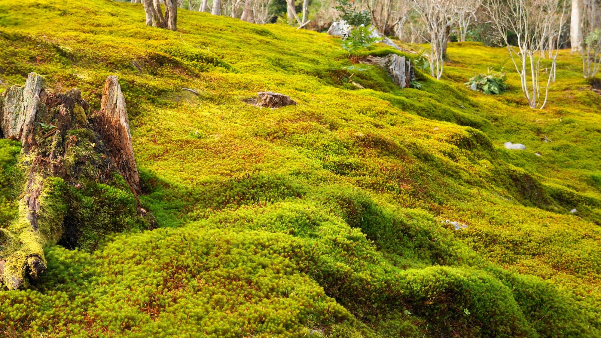 天龍寺の穏やかで滑らかな雰囲気の漂う苔