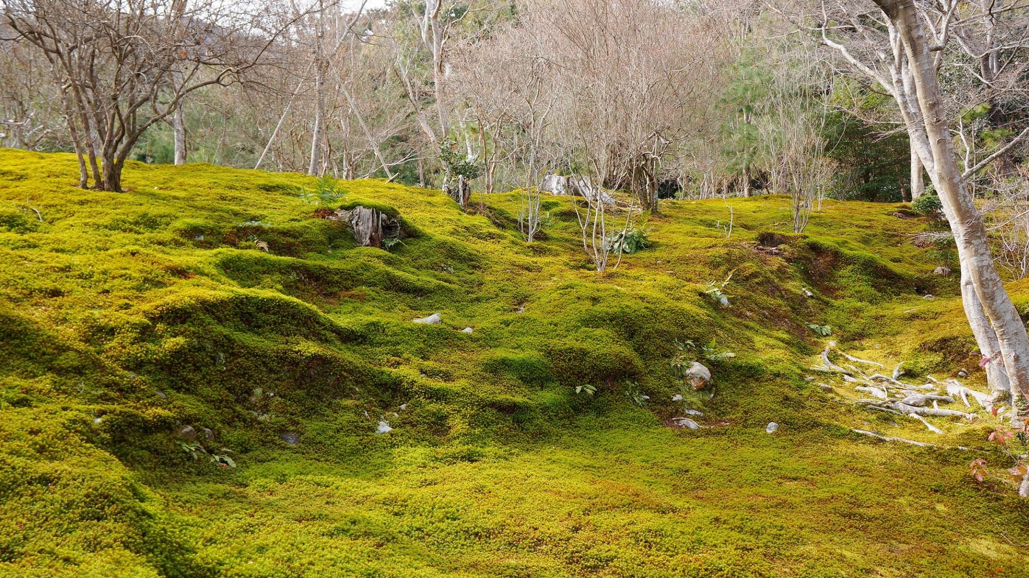 天龍寺の冬でも彩りのある見事な苔