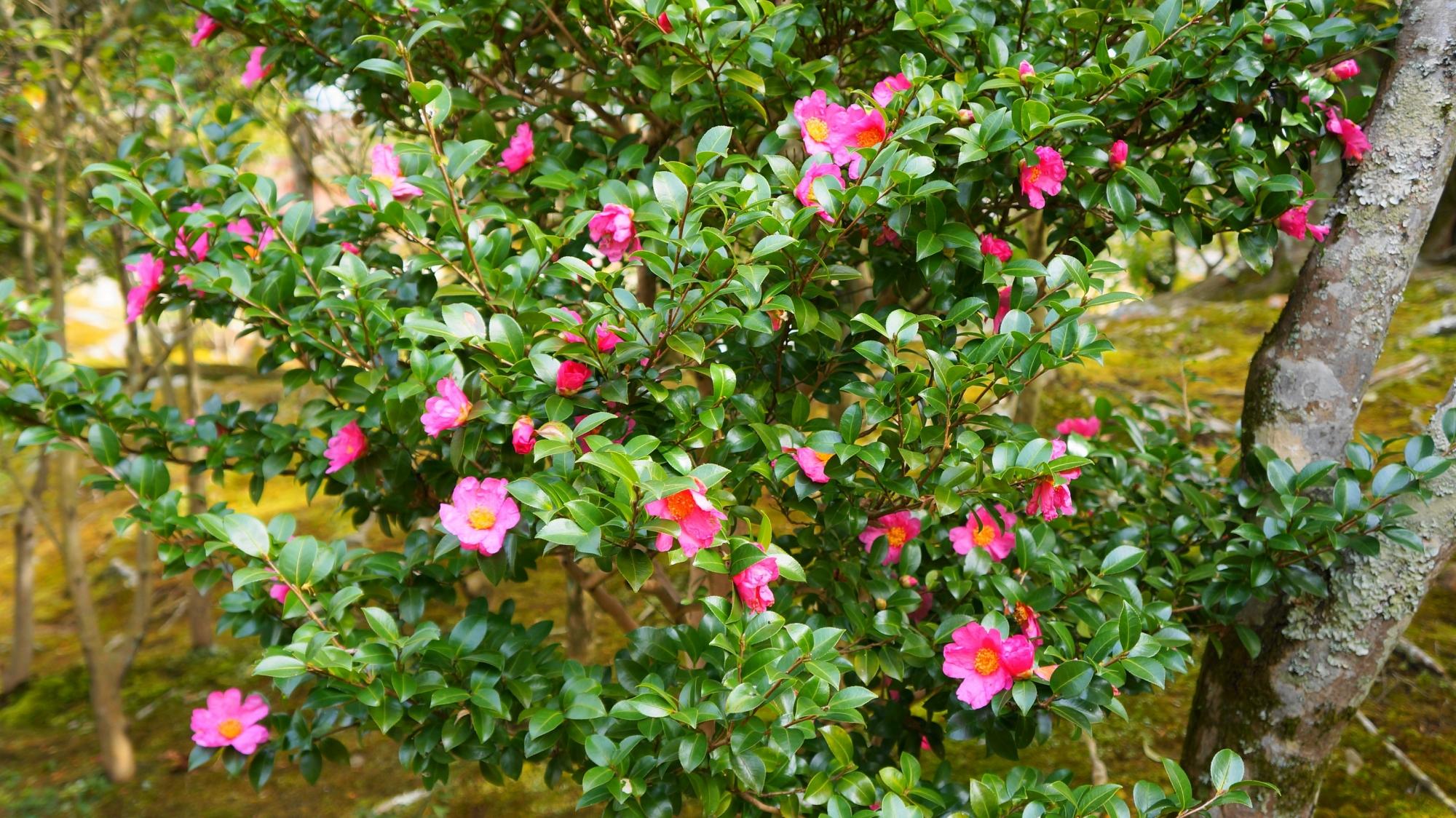 緑を華やぐ天龍寺のピンクの椿