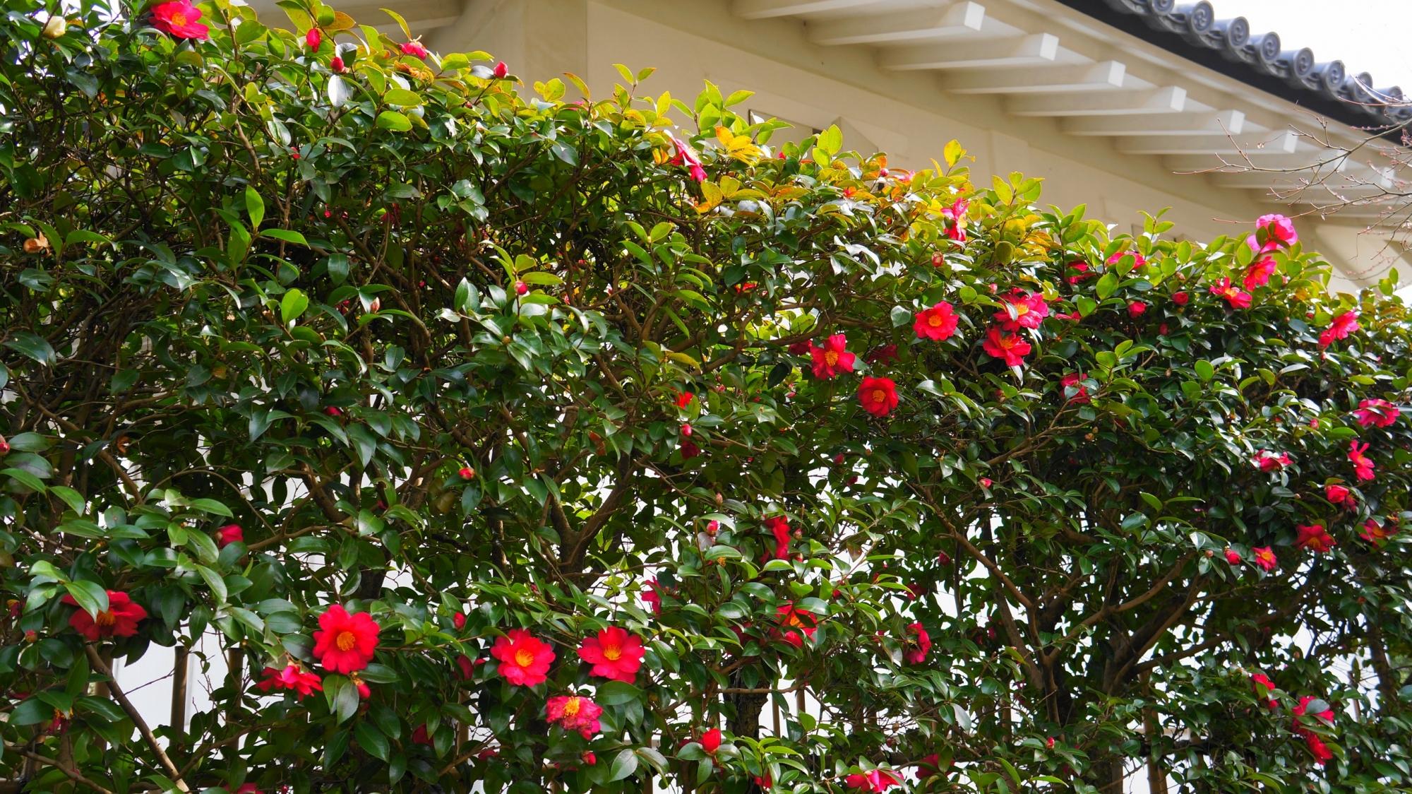 天龍寺の冬の庭園を彩る鮮やかな椿(ツバキ)