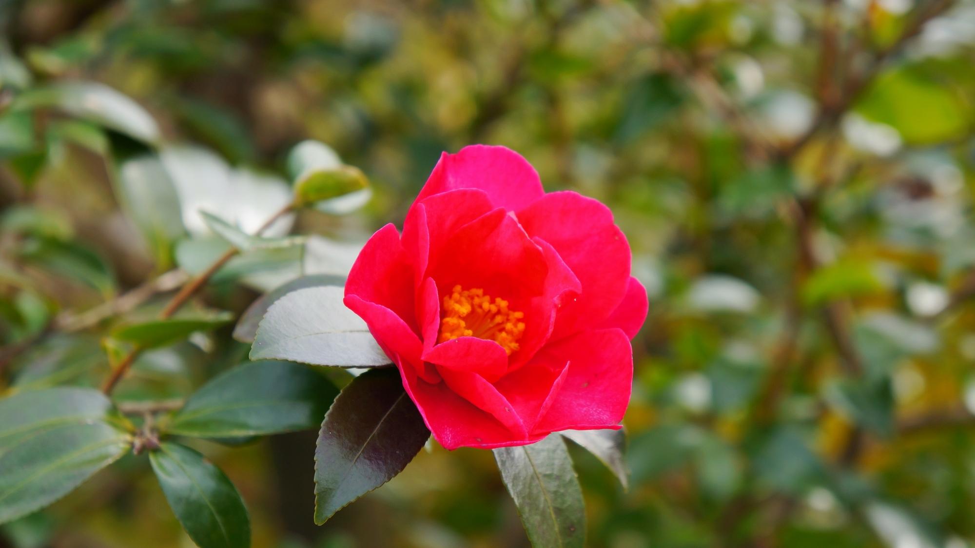 鮮烈な赤さが目を引く天龍寺のツバキ