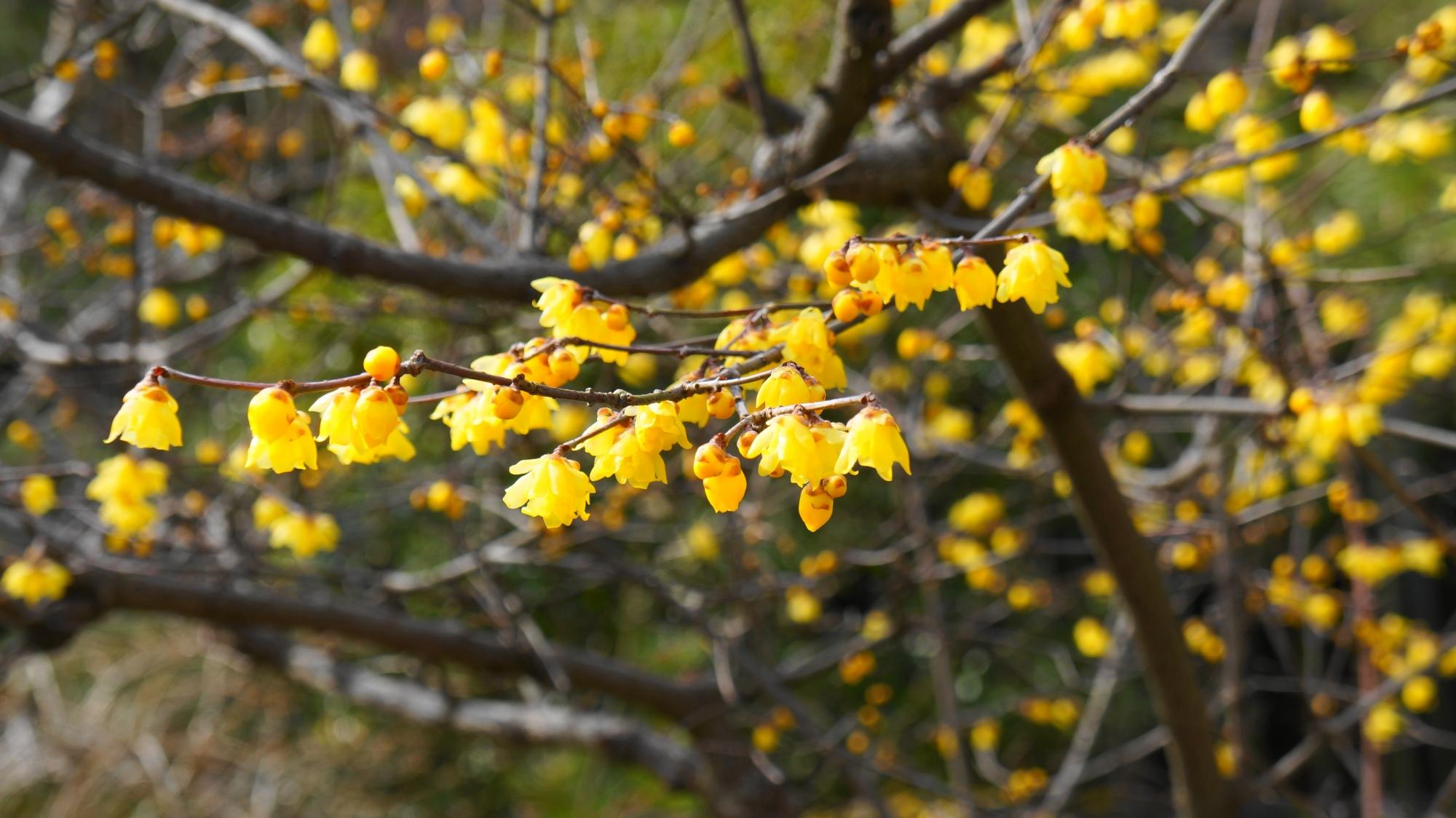 天龍寺の寒い冬の庭園を明るく彩る蝋梅の可憐な黄色い花