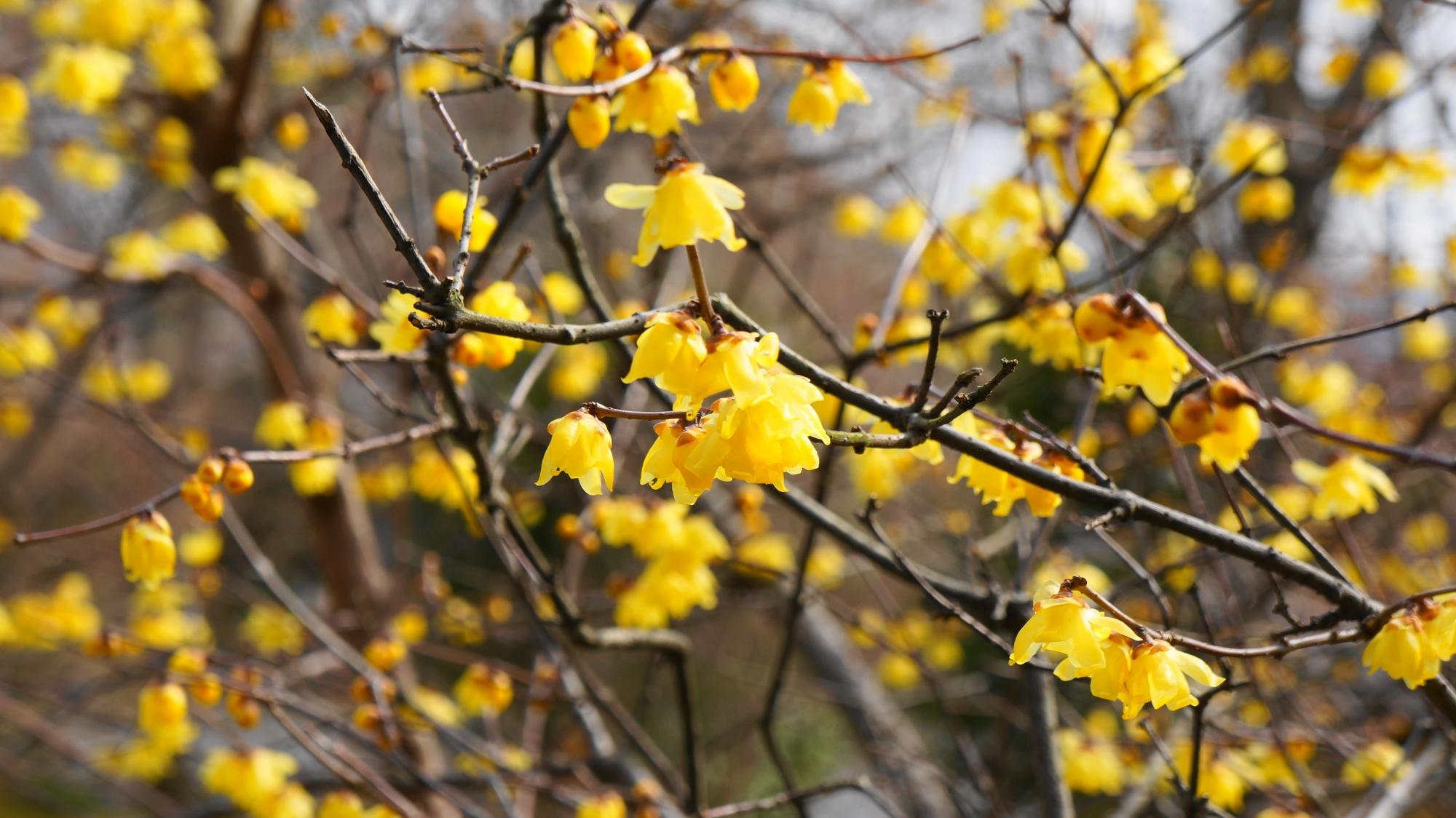 ロウバイの見事な黄色い花で溢れる天龍寺