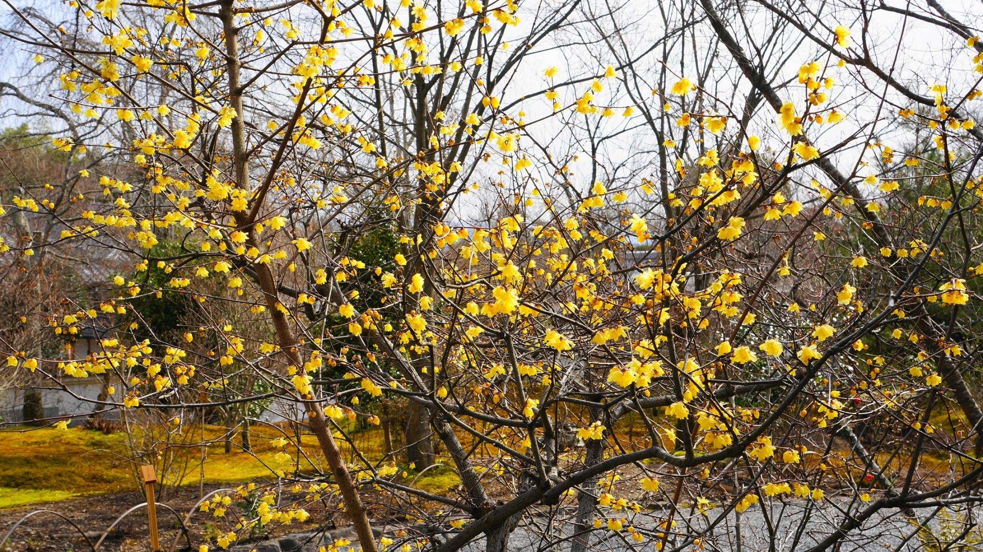 「梅」とつくも梅とは別の種類の木の蝋梅(ロウバイ)