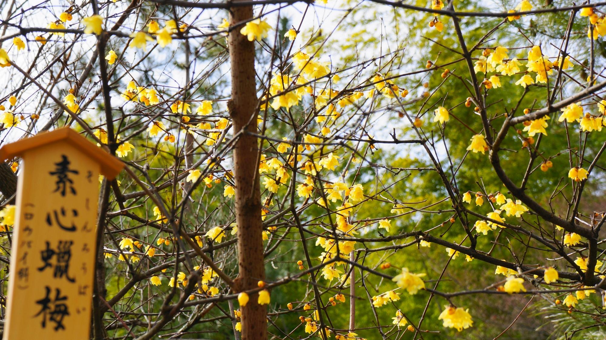 天龍寺の黄色い花を咲かせる蝋梅(ロウバイ)