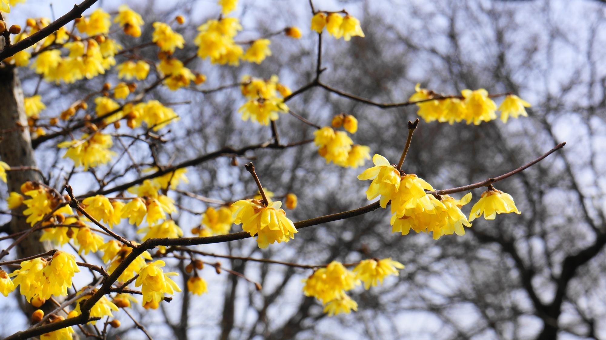 一輪一輪花びら一枚一枚非常に繊細なロウバイの花