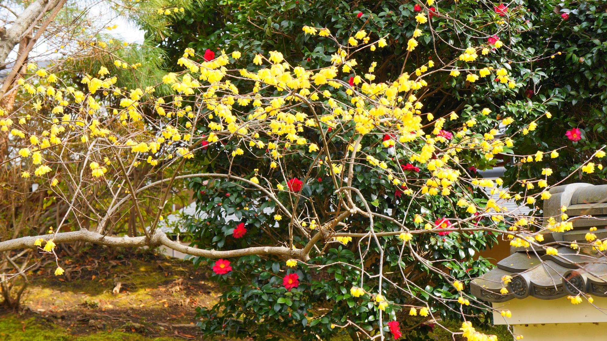 鮮やかな椿を背景にした華やかな蝋梅