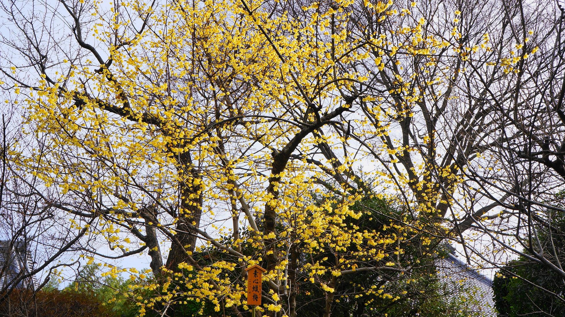 天龍寺の咲き誇る満開の蝋梅の花
