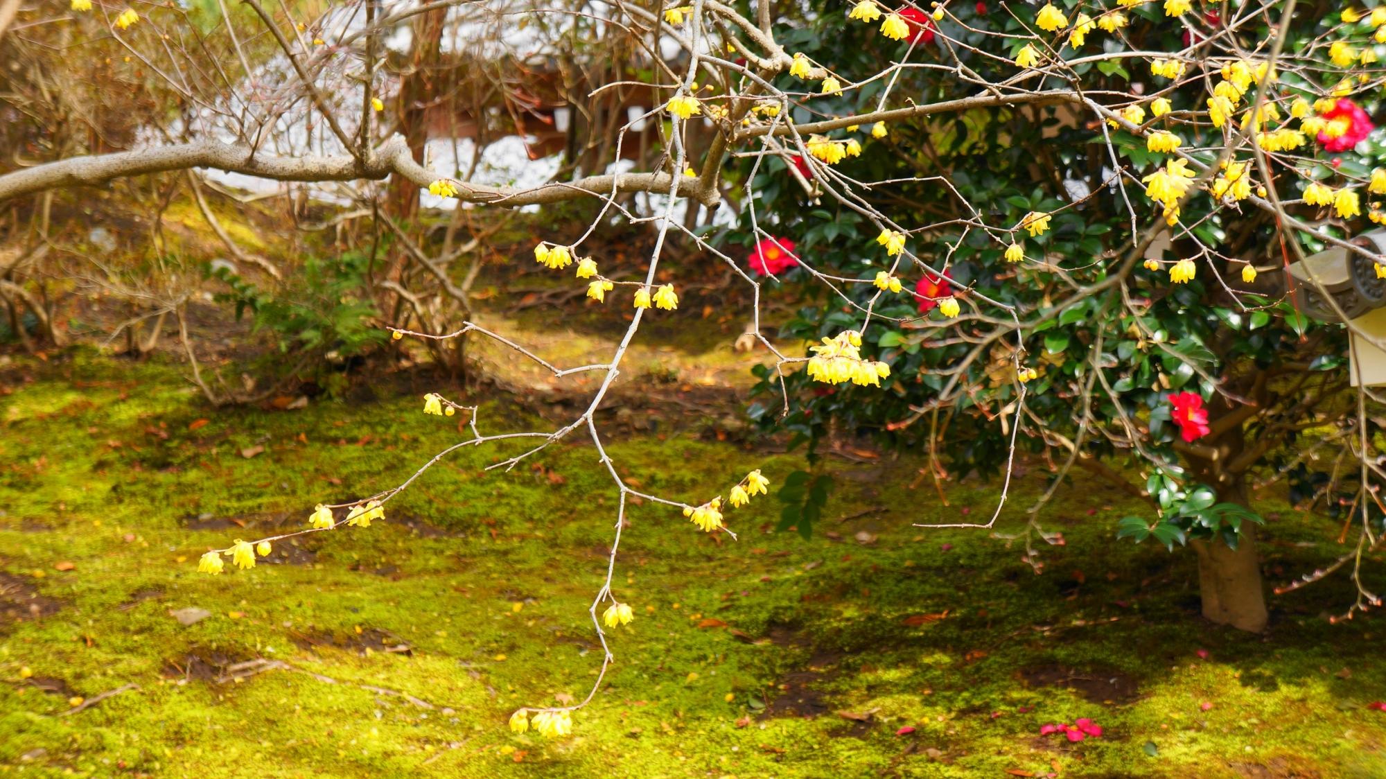 彩りの薄れる冬を華やぐ天龍寺の蝋梅と椿