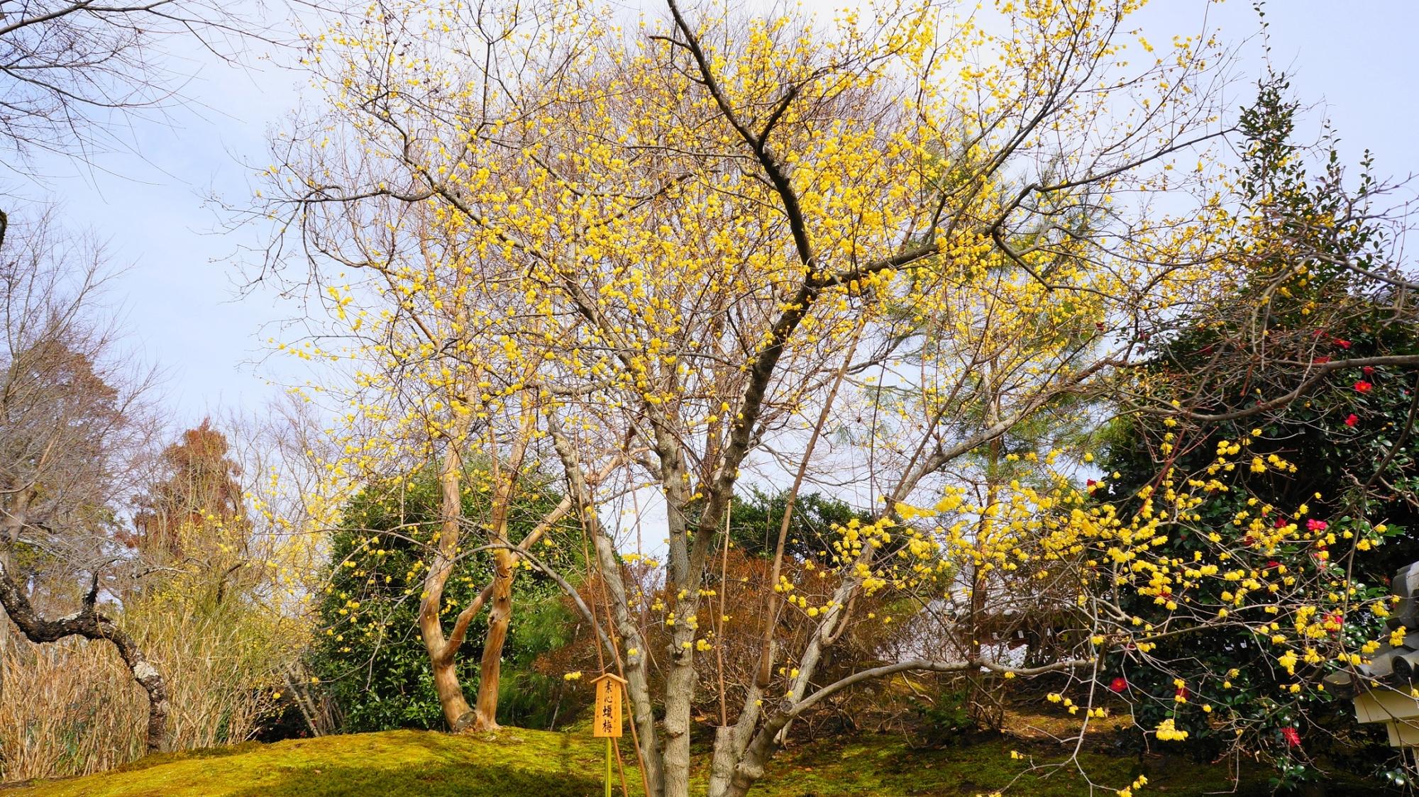 天龍寺の冬を彩る素晴らしい蝋梅や椿や山茶花
