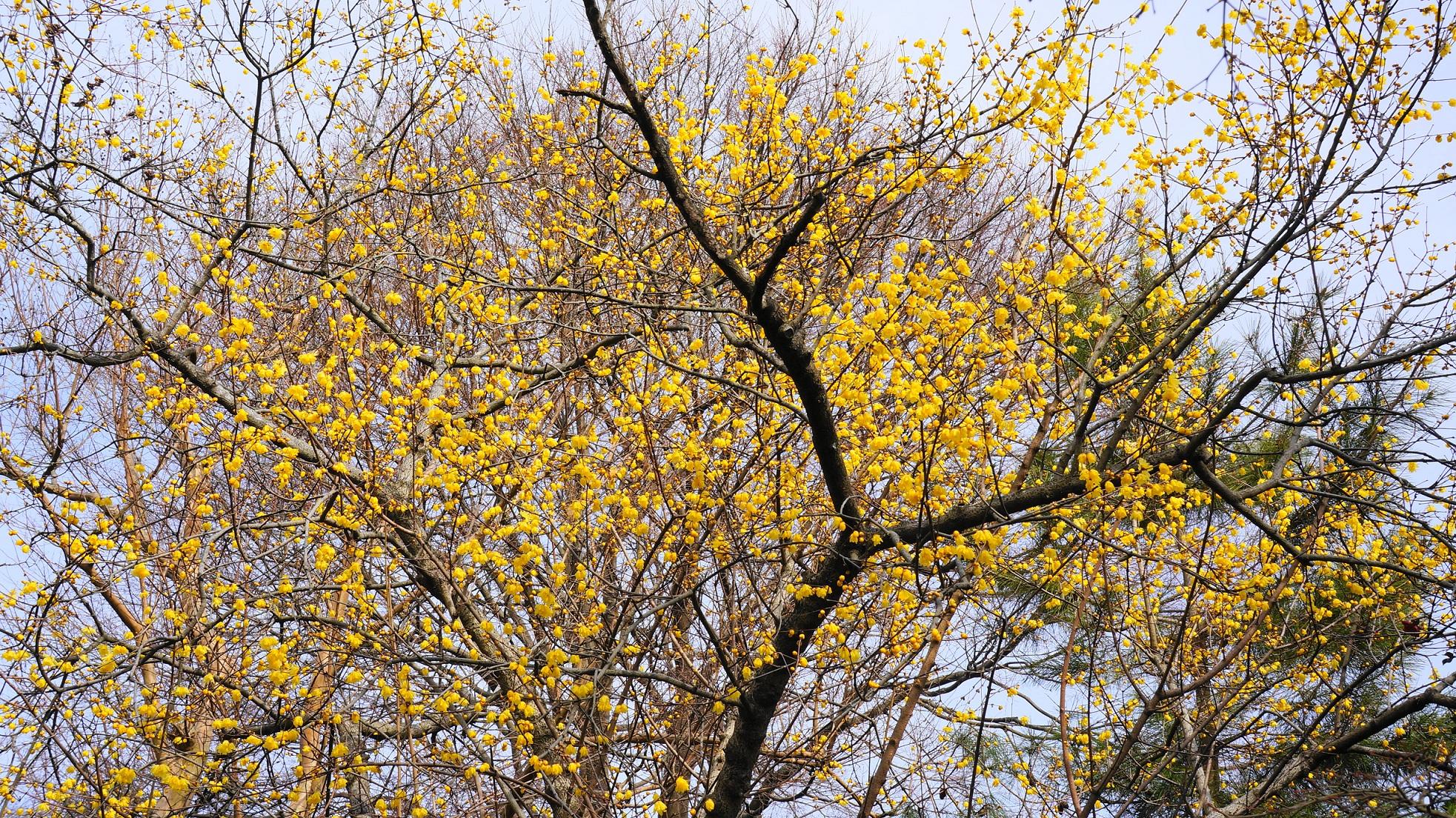 花をいっぱいつけて優雅に庭園を彩る大きな蝋梅の木