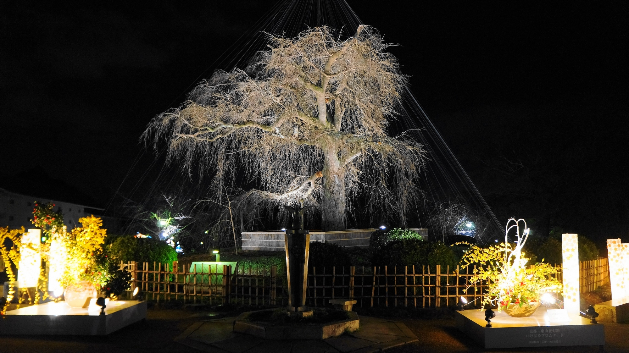 円山公園の東山花灯路のしだれ桜