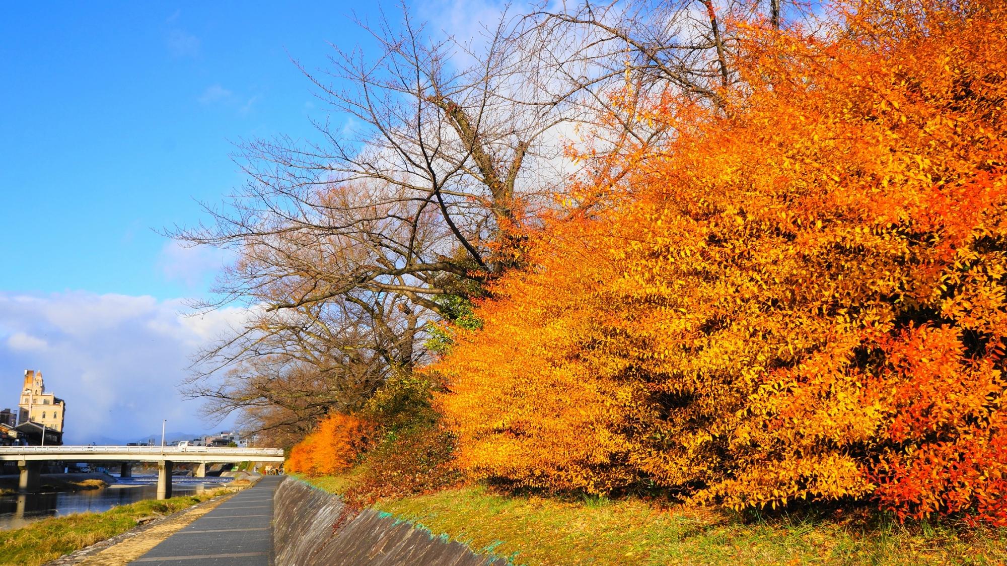 鴨川の雪柳のオレンジ色の見事な紅葉
