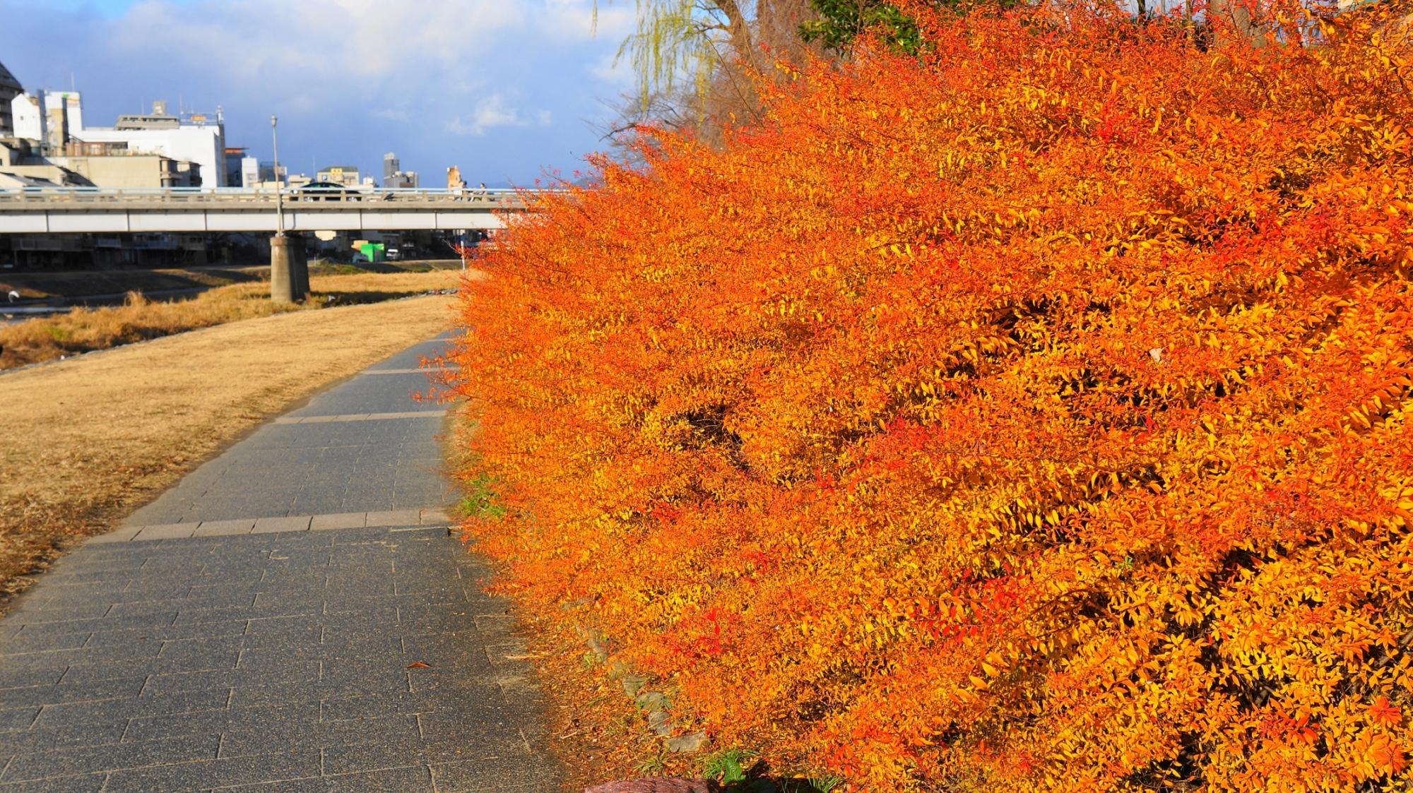 鴨川の冬の雪柳のオレンジの紅葉(五条付近)