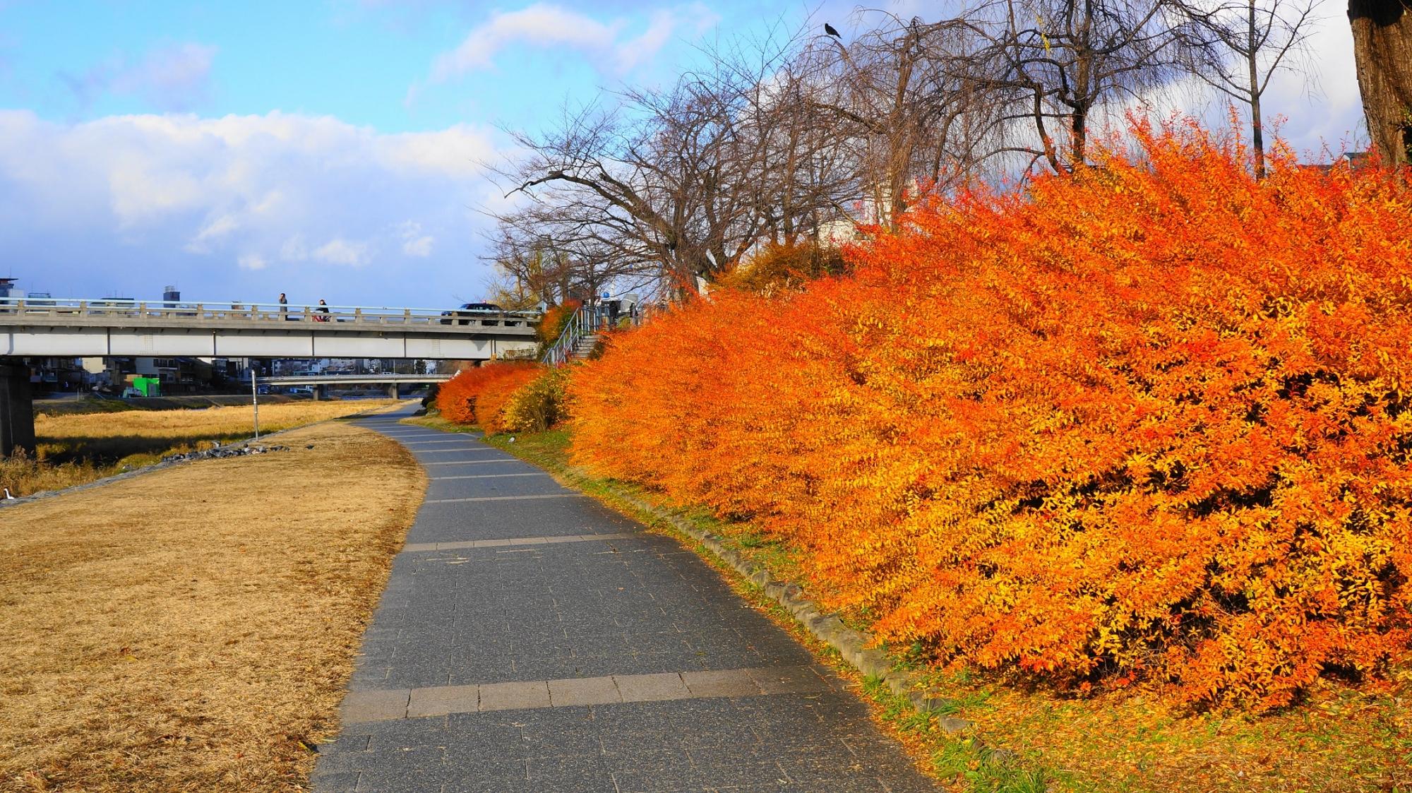 鴨川 冬の雪柳 五条付近 オレンジ 紅葉