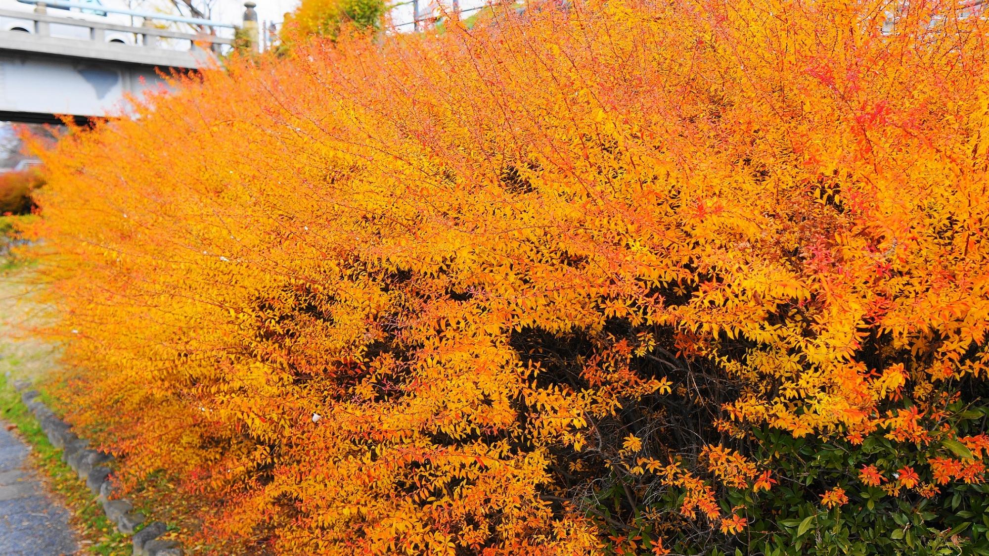 オレンジ 雪柳 紅葉 鴨川