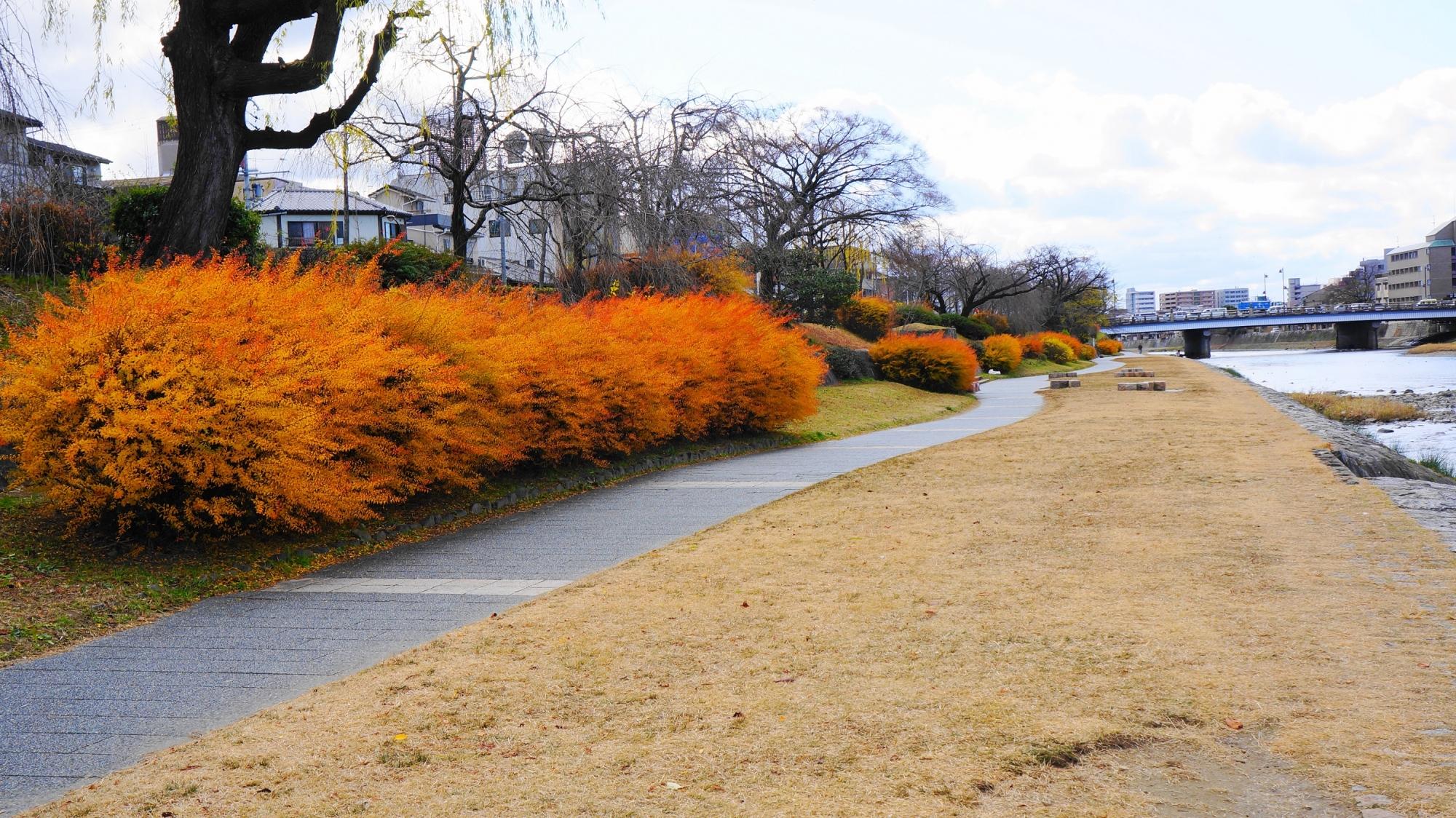 冬の鴨川の雪柳の華やかな紅葉