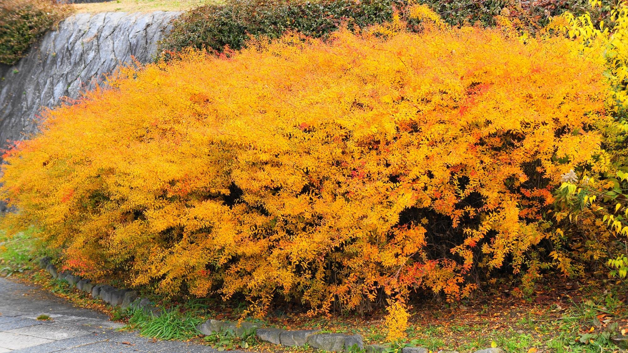 鴨川の雪柳のオレンジ色の鮮やかな紅葉