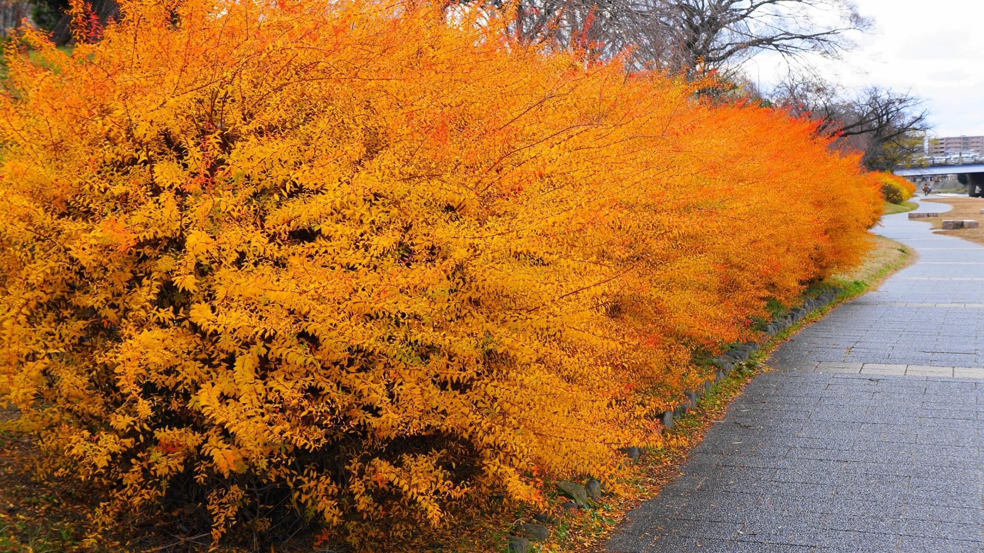 鴨川 五条 冬の雪柳 オレンジ色 紅葉