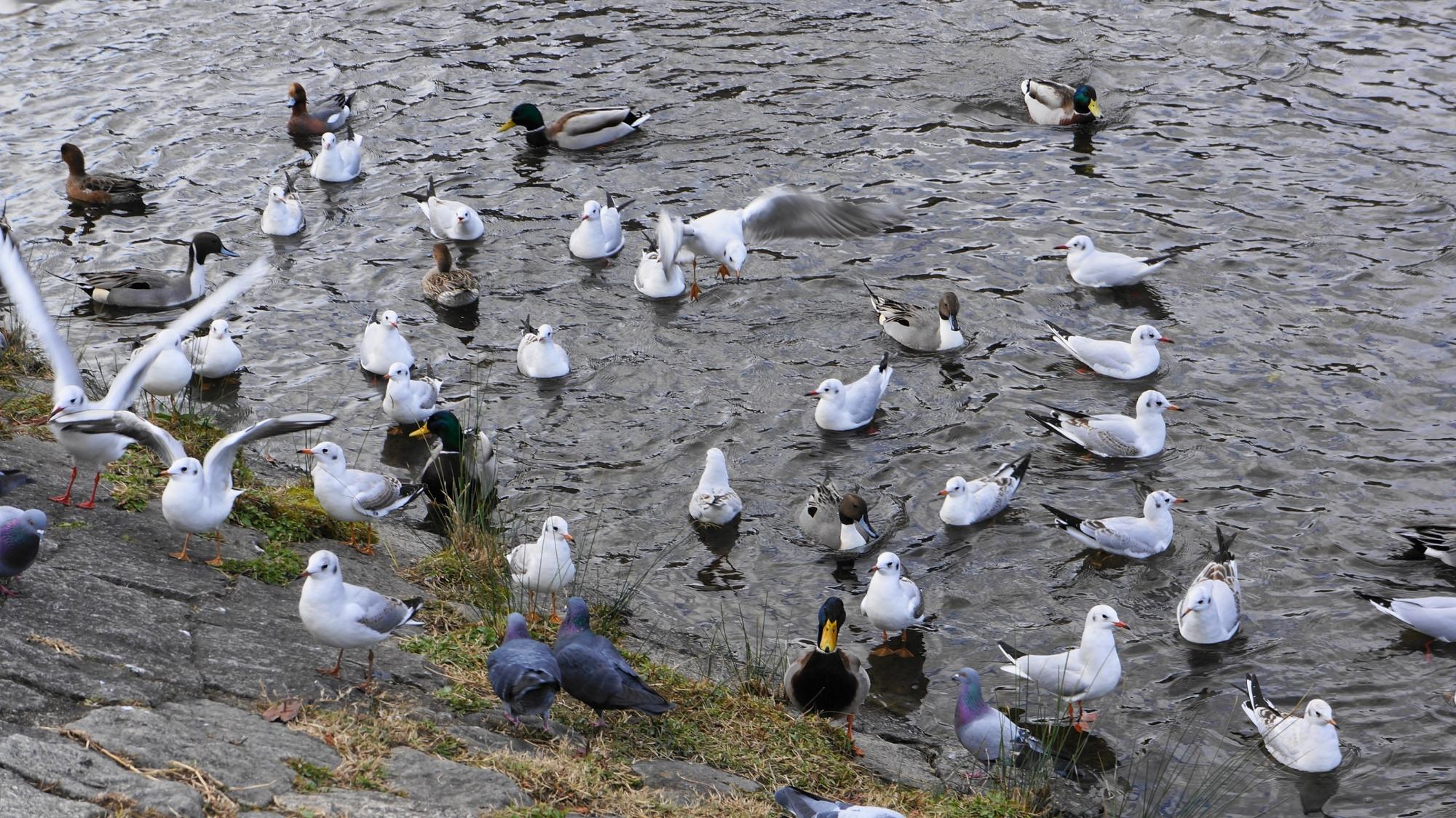 鴨川の白いゆりかもめ