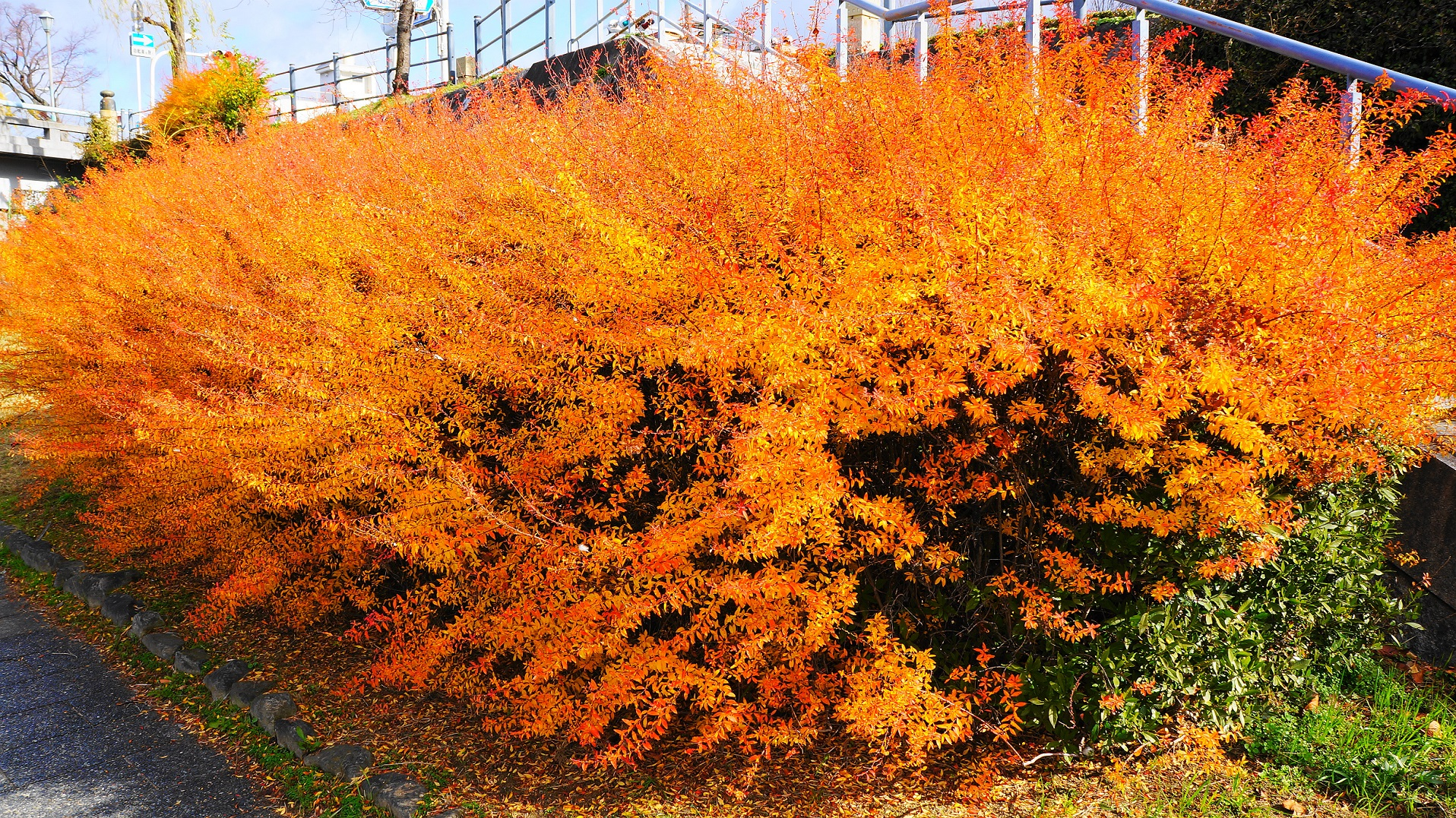 雪柳のオレンジ色の綺麗な紅葉