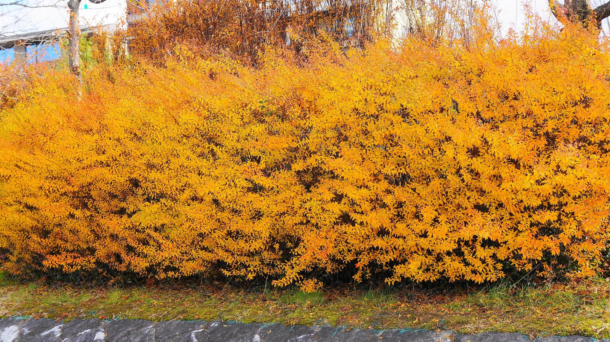 鴨川の雪柳のオレンジ色のあっぱれな紅葉