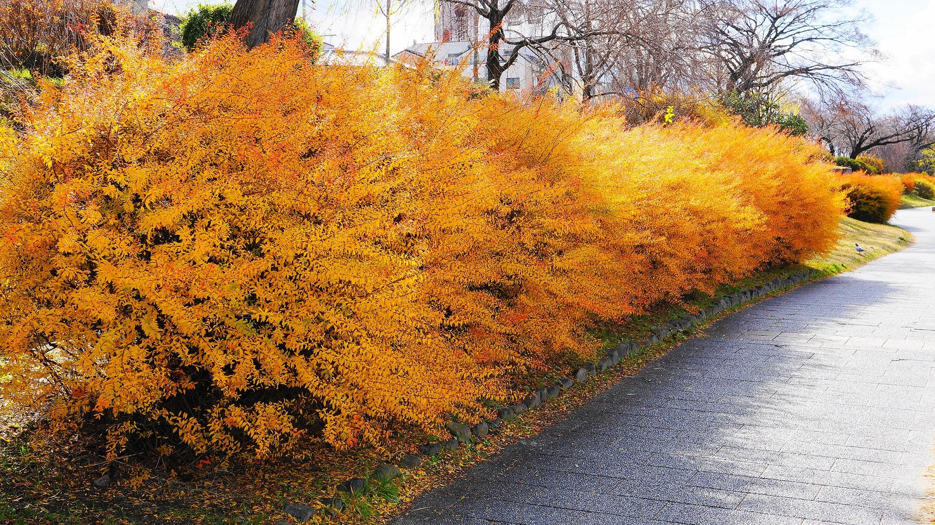 雪柳のオレンジ色の優美な紅葉