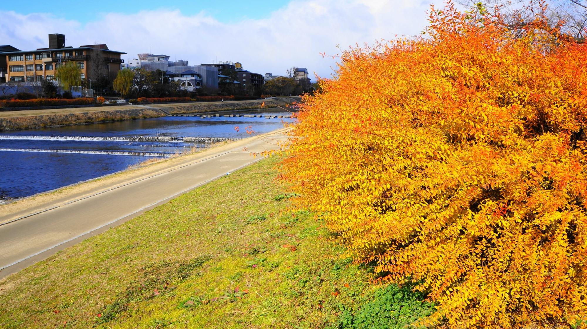 鴨川の雪柳の冬のオレンジ色の鮮やかな紅葉