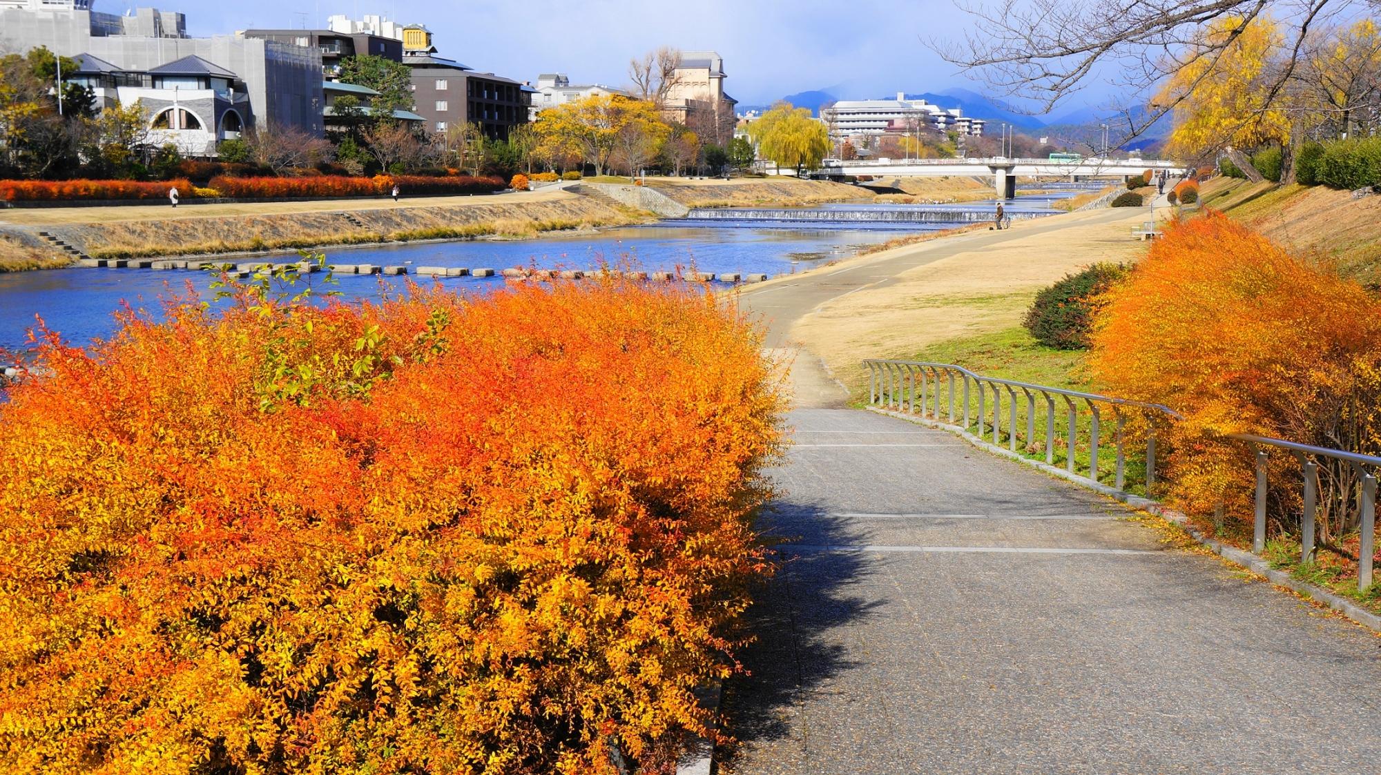 鴨川のオレンジ色の冬の雪柳(二条付近)