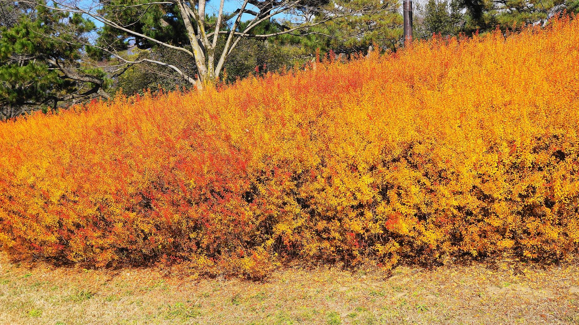 鴨川の冬の雪柳の見事なオレンジの紅葉(出町橋付近)