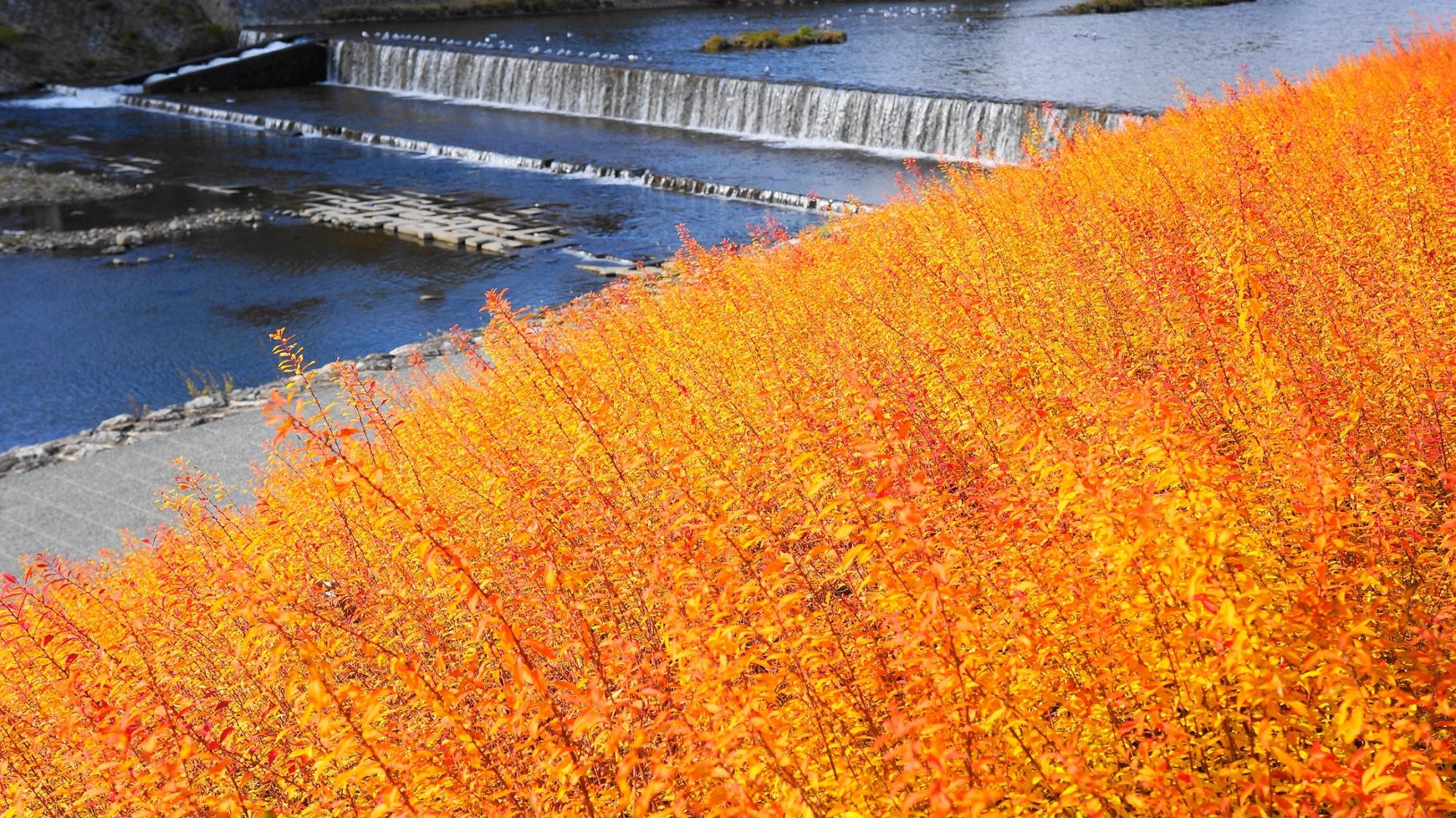 鴨川の冬の雪柳の見事な紅葉