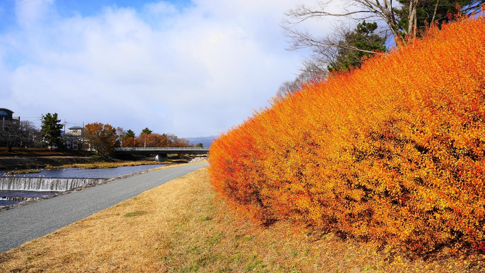 鴨川 冬 雪柳 オレンジ 紅葉 出町橋付近