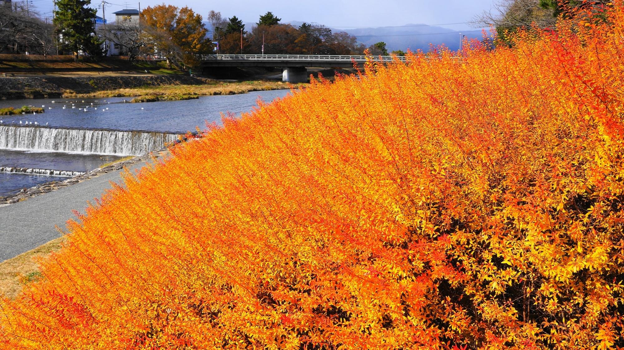京都鴨川の華やかなオレンジ色の冬の雪柳(出町橋付近)