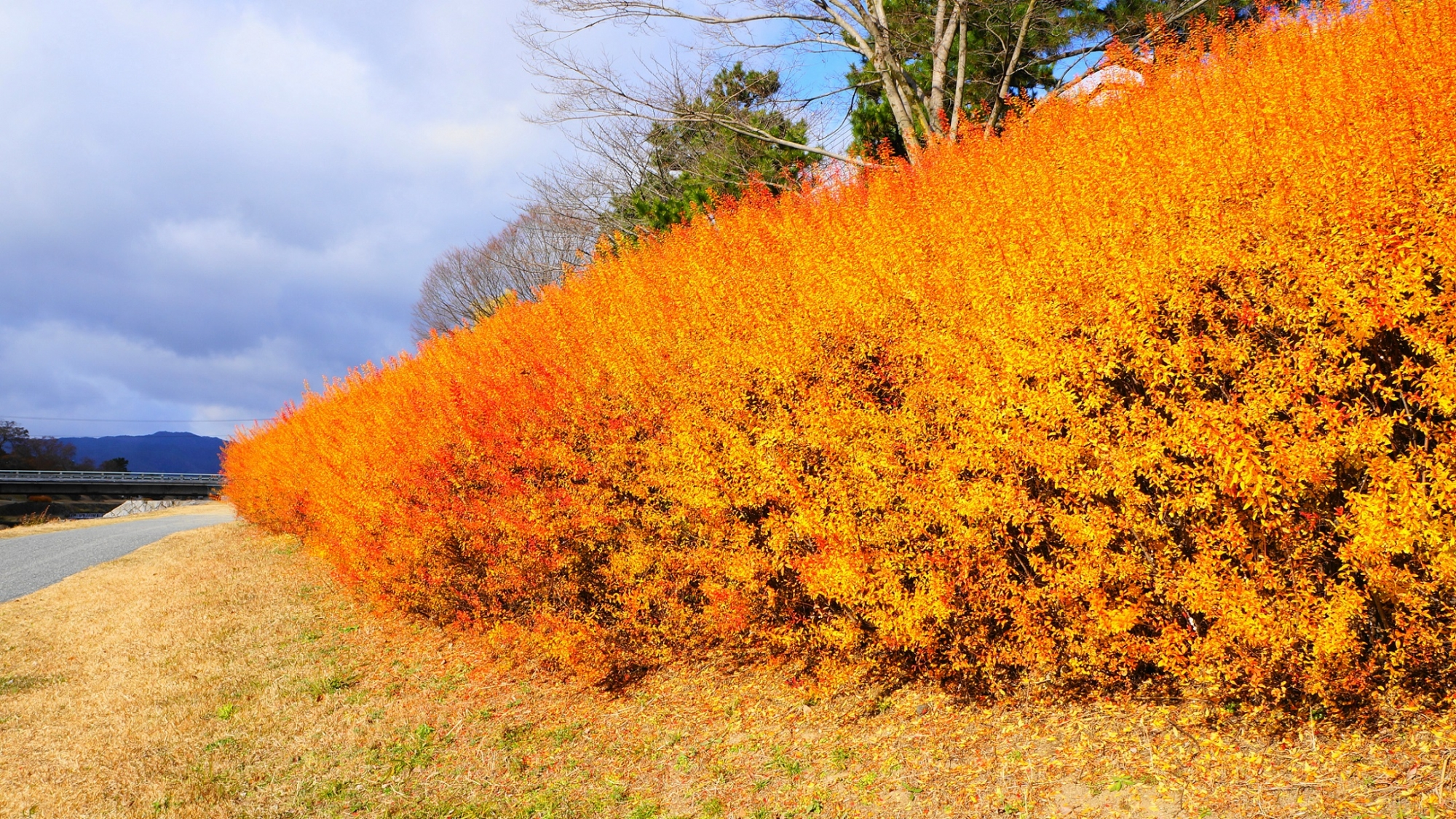 Spirea colored leaves Kyoto Kamo-River in winter