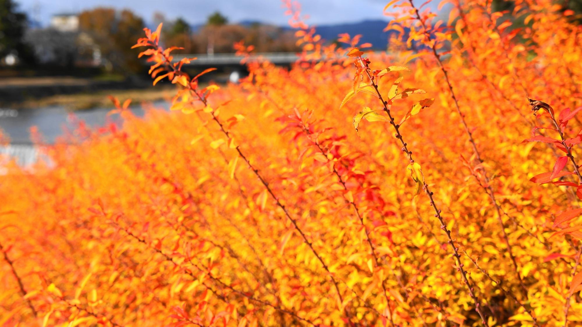 冬 雪柳 オレンジ色 紅葉 冬 12月