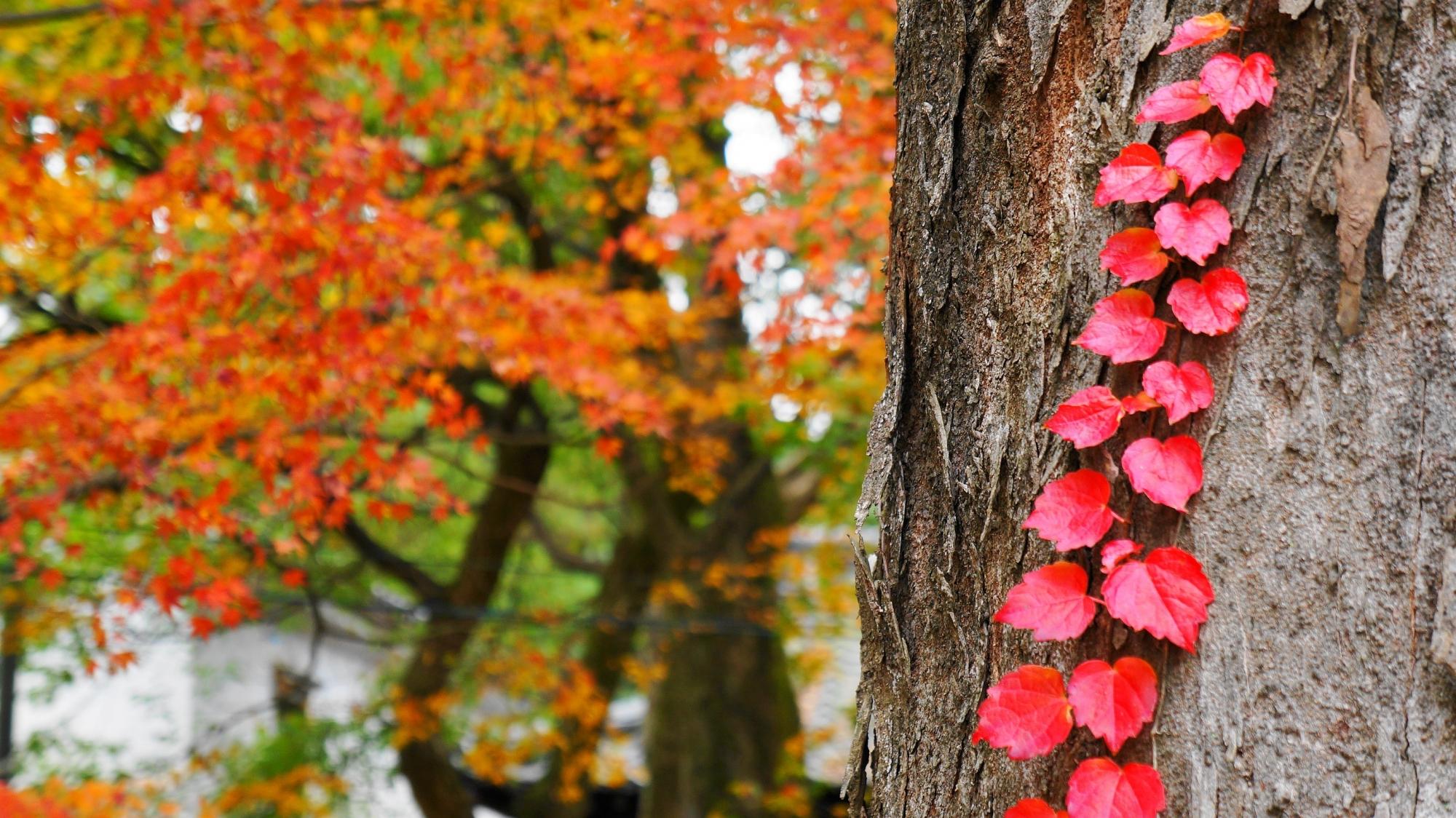 京都八坂神社の本殿付近の可愛い植物の紅葉