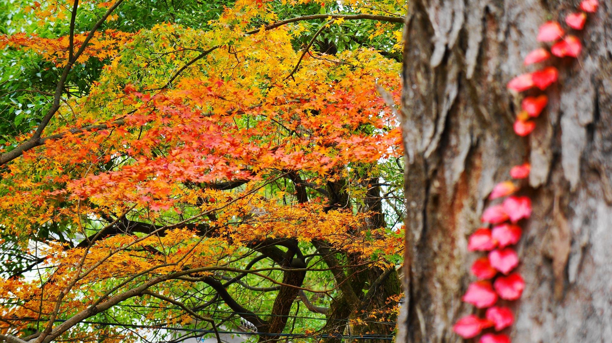 八坂神社 可愛い紅葉 見ごろ