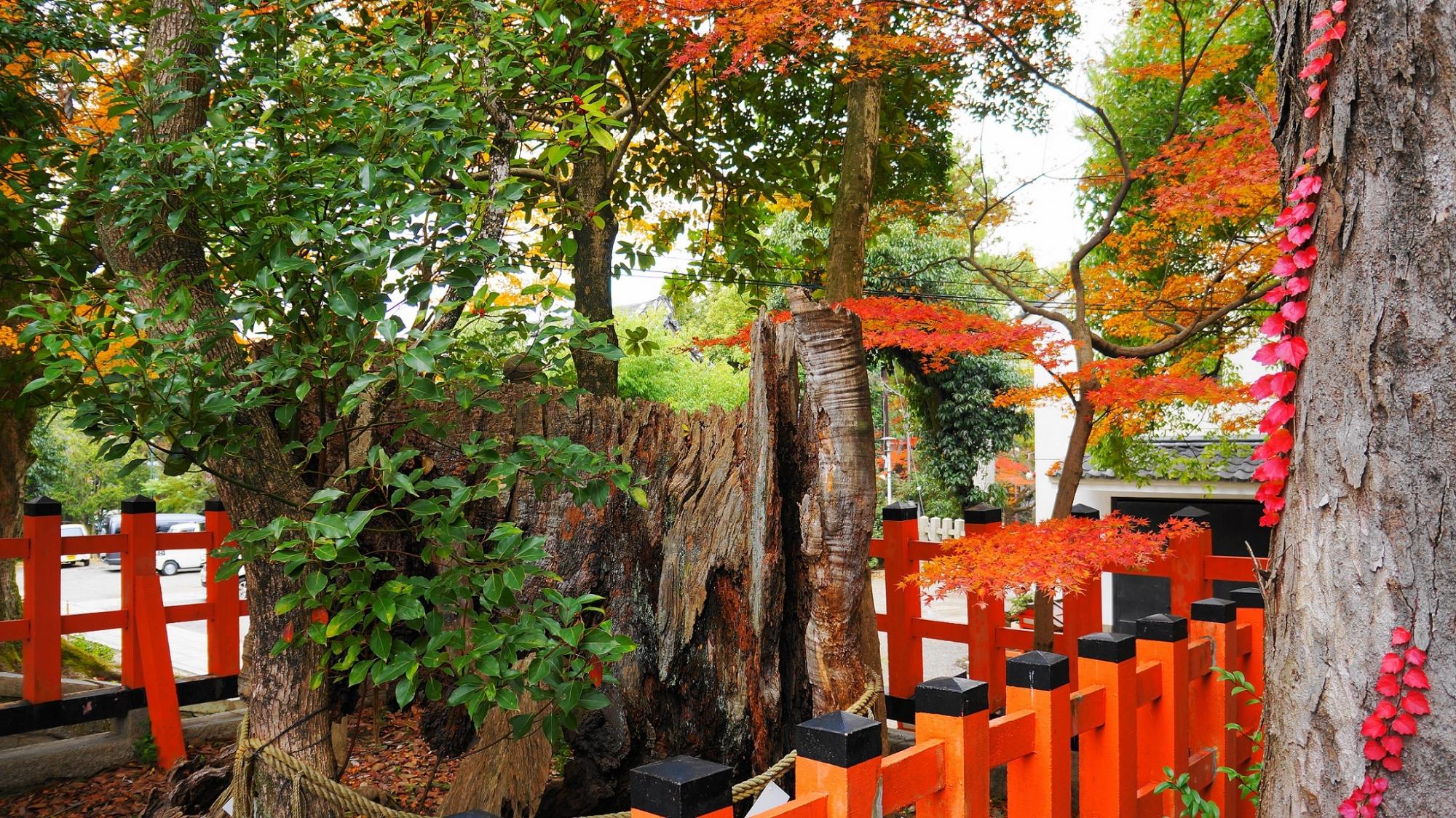 八坂神社 可愛い紅葉 本殿付近