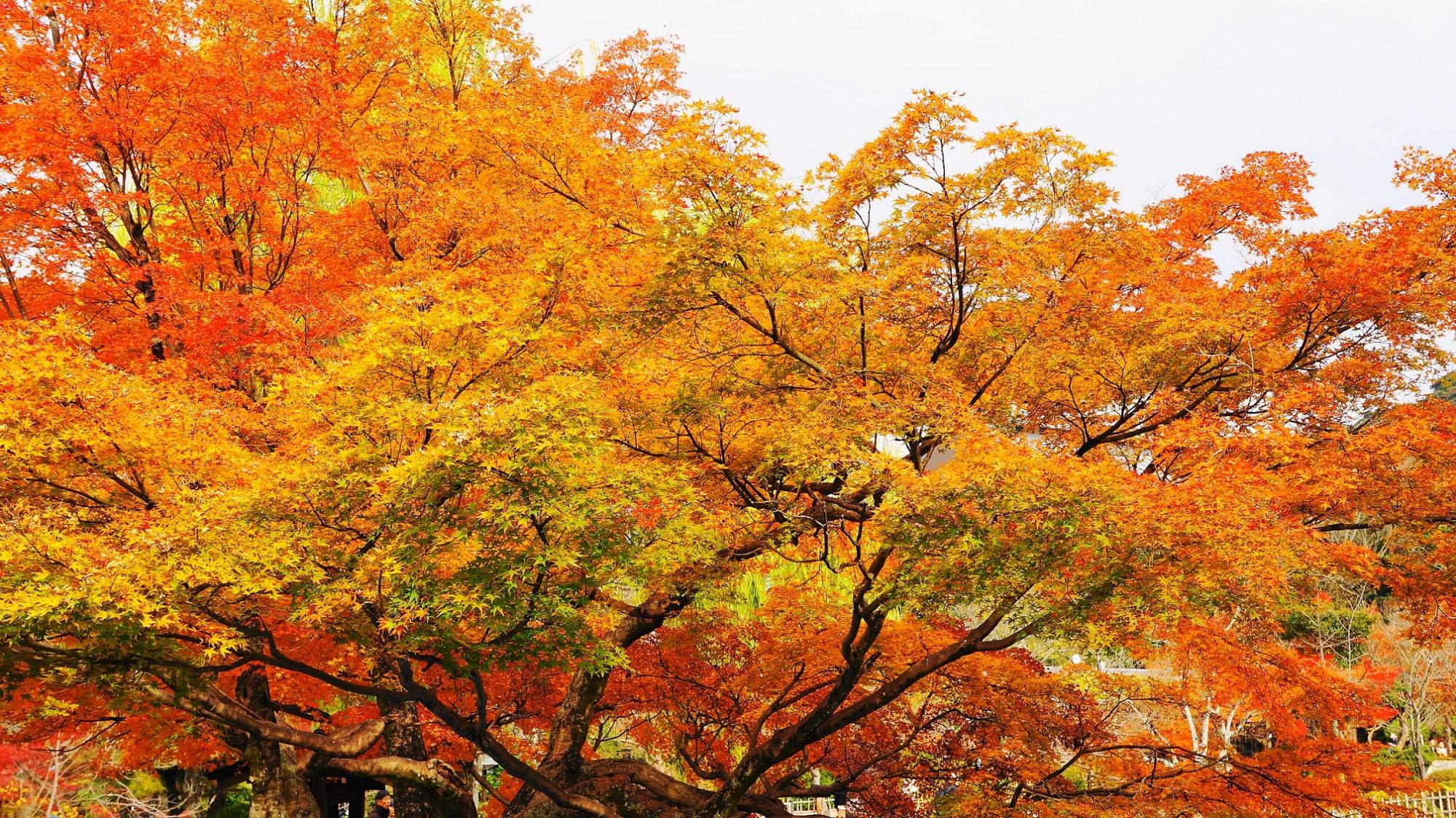 円山公園 紅葉 見ごろ