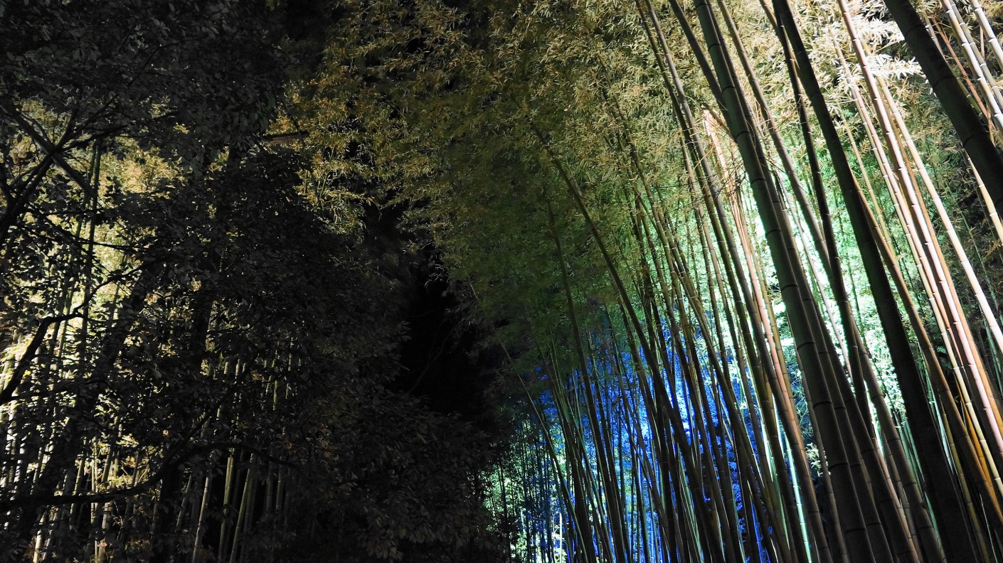 見事な青色の竹林ライトアップ