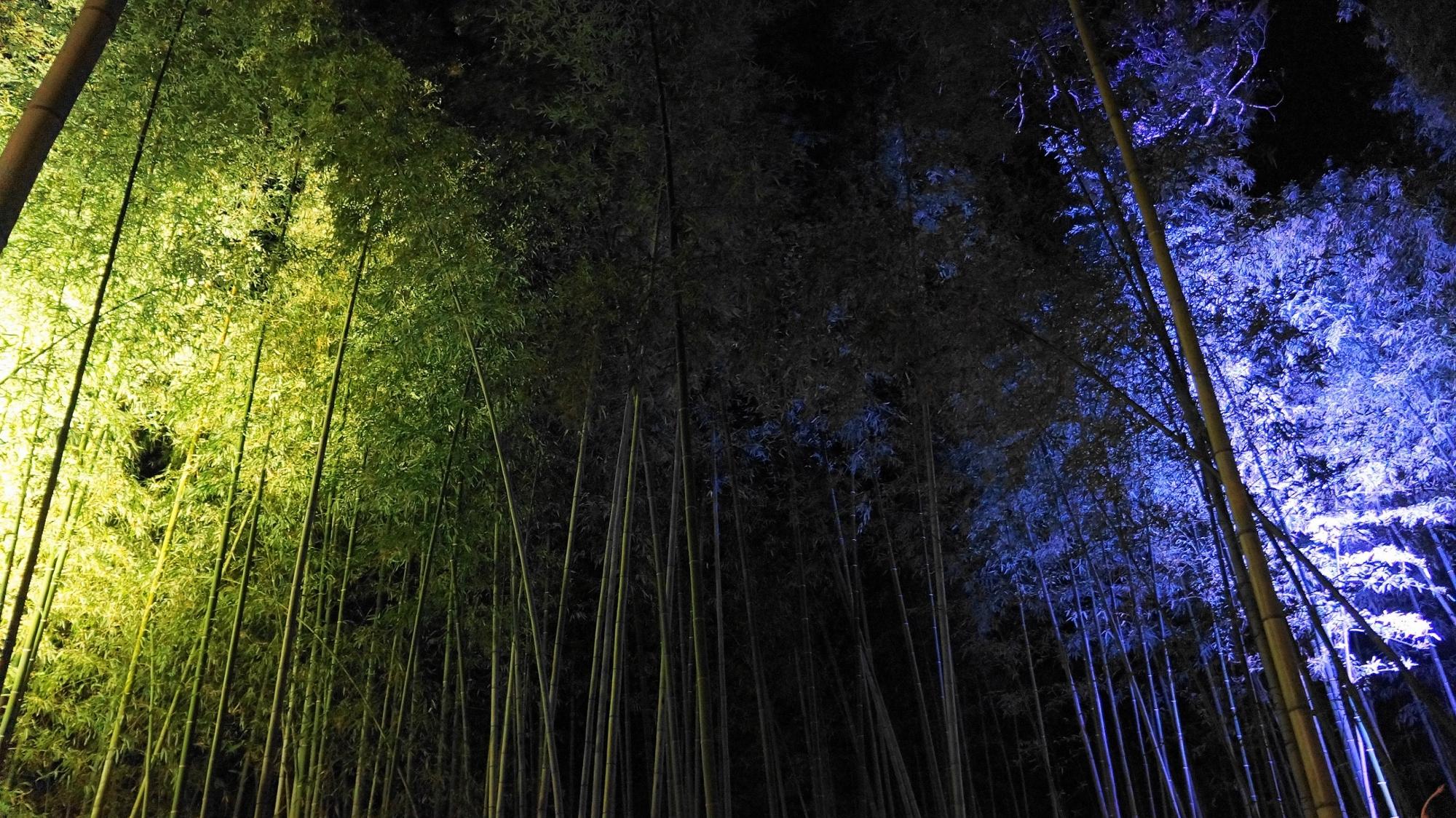嵐山花灯路の美しい青色の竹林ライトアップ