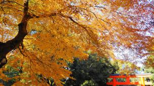 Kyoto Shimogamo Shrine autumn leaves 見ごろ 秋 下鴨神社 南鳥居
